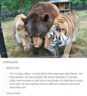 """Animals, Cute, and Drug Dealer: sunfi0werpetal  awwww-cute  """"For 13 years, Baloo, Leo and Shere Khan have been best friends. The  three animals, who live at Noah's Ark Animal Sanctuary in Georgia  [USA], were rescued as cubs from a drug dealer who kept them as pets.  In the wild, the three species hail from different continents and would  have never met.  omg my heart Truly awesome friendship"""