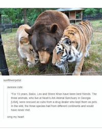 Animals, Cute, and Drug Dealer: sunfl0werpetal  awwww-cute:  For 13 years, Baloo, Leo and Shere Khan have been best friends. The  three animals, who live at Noah's Ark Animal Sanctuary in Georgia  [USA], were rescued as cubs from a drug dealer who kept them as pets  In the wild, the three species hail from different continents and would  have never met.  omg my heart Follow my other accounts @antisocialtv @lola_the_ladypug @x__antisocial_butterfly__x