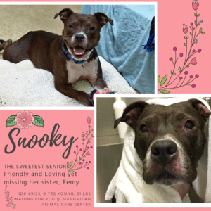 INTAKE DATE: 07/14/19  LEVEL 1 RATED - 2 of the sweetest seniors surrendered together - Remy 69135 & Snooky 69133  These adventure buddies make the sweetest pair, they would love to stick together! They have been nothing but sweet and social at the shelter.  Just look at Snooky's sweet face - how can you not want to give her the world!?  She is great on leash, friendly with other dogs and just wants your love and attention.  Will she lean in for some pets - YOU BET!  She is a SWEETHEART!  So please Please consider opening your home and your heart to these sweet girls!  They deserve warm naps in the sun on soft beds and goodnight kisses.  Please help make that happen!  SNOOKY, ID# 69133 8 yrs old, 51 lbs Manhattan Animal Care Center Large Mixed Breed Cross, Brown / White Spayed Female, Owner Surrender Reason: Shelter Assessment Rating: LEVEL 1 Medical Behavior Rating:  CAME IN WITH REMY ID# 69135  BEHAVIOR NOTES  Means of surrender (length of time in previous home): Owner Surrender  SAFER ASSESSMENT: Date of assessment: 15-Jul-2019  Summary:  Leash Walking Strength and pulling: Light Reactivity to humans: None Reactivity to dogs: None Leash walking comments: None  Sociability Loose in room (15-20 seconds): Highly social Call over: Approaches readily Sociability comments: Body soft, stays by assessor  Handling Soft handling: Seeks contact Exuberant handling: Seeks contact Handling comments: Body soft, leans into pets, climbs into assessor's lap  Arousal Jog: Follows (loose) Arousal comments: None  Knock: Approaches (loose) Knock Comments: None  Toy: Grips, firm Toy comments: Body soft  PLAYGROUP NOTES - DOG TO DOG SUMMARIES:  7/15: When introduced off leash to the male greeter dog, Snooky greets politely, then keeps mostly to herself. She late re-approaches and engages in a small amount of gentle play.  7/16: Snooky keeps to herself.  MEDICAL BEHAVIOR: Date of initial: 14-Jul-2019 Summary: Loose body, allowed handling  ENERGY LEVEL: Snooky displays a medium level of activity.  BEHAVIOR DETERMINATION: Level 1 Behavior Asilomar H - Healthy  MEDICAL EXAM NOTES  14-Jul-2019  DVM Intake Exam Estimated age: 8 History : OS - reported history of food allergies Subjective: BAR, euhydrated, MM pink/moist, CRT Observed Behavior: loose body; allowed for full PE Evidence of Cruelty seen -n Evidence of Trauma seen -n Objective T = - P = wnl R = wnl EENT: Anterior chambers clear OU; no corneal defects; no ocular or nasal discharge; no oral masses or ulcerations seen Oral Exam: teeth in good cond – no calculus; no staining; all permanent teeth present PLN: No enlargements noted H/L: No murmurs or arrhythmias; strong, synchronous femoral pulses bilaterally; Eupneic; normal bronchovesicular sounds in all fields; no crackles/wheezes ABD: Non painful, no masses palpated U/G: tattoo present - spayed MSI: Focal areas of erythema/epidermal collarettes over pectorals and abdomen; BCS 5/9 ; Ambulatory x 4 with no lameness, skin free of parasites, no masses noted, healthy hair coat CNS: Appropriate mentation; no cranial nerve deficits; no proprioceptive deficits; no ataxia Rectal: externally normal Assessment: - Dermatitis - suspect secondary to allergies (possible food allergy as per owners report) Plan - Place on a Z/D food diet only - Schedule for weekly medicated baths - Simplicef 200 mg SID for 7 days  *** TO FOSTER OR ADOPT ***  If you would like to adopt a NYC ACC dog, and can get to the shelter in person to complete the adoption process, you can contact the shelter directly. We have provided the Brooklyn, Staten Island and Manhattan information below. Adoption hours at these facilities is Noon – 8:00 p.m. (6:30 on weekends)  If you CANNOT get to the shelter in person and you want to FOSTER OR ADOPT a NYC ACC Dog, you can PRIVATE MESSAGE our Must Love Dogs page for assistance. PLEASE NOTE: You MUST live in NY, NJ, PA, CT, RI, DE, MD, MA, NH, VT, ME or Northern VA. You will need to fill out applications with a New Hope Rescue Partner to foster or adopt a NYC ACC dog. Transport is available if you live within the prescribed range of states.  Shelter contact information: Phone number (212) 788-4000 Email adopt@nycacc.org Shelter Addresses: Brooklyn Shelter: 2336 Linden Boulevard Brooklyn, NY 11208 Manhattan Shelter: 326 East 110 St. New York, NY 10029 Staten Island Shelter: 3139 Veterans Road West Staten Island, NY 10309  *** NEW NYC ACC RATING SYSTEM ***  Level 1 Dogs with Level 1 determinations are suitable for the majority of homes. These dogs are not displaying concerning behaviors in shelter, and the owner surrender profile (where available) is positive. Some dogs with Level 1 determinations may still have potential challenges, but these are challenges that the behavior team believe can be handled by the majority of adopters. The potential challenges could include no young children, prefers to be the only dog, no dog parks, no cats, kennel presence, basic manners, low level fear and mild anxiety.  Level 2  Dogs with Level 2 determinations will be suitable for adopters with some previous dog experience. They will have displayed behavior in the shelter (or have owner reported behavior) that requires some training, or is simply not suitable for an adopter with minimal experience. Dogs with a Level 2 determination may have multiple potential challenges and these may be presenting at differing levels of intensity, so careful consideration of the behavior notes will be required for counselling. Potential challenges at Level 2 include no young children, single pet home, resource guarding, on-leash reactivity, mouthiness, fear with potential for escalation, impulse control/arousal, anxiety and separation anxiety.  Level 3 Dogs with Level 3 determinations will need to go to homes with experienced adopters, and the ACC strongly suggest that the adopter have prior experience with the challenges described and/or an understanding of the challenge and how to manage it safely in a home environment. In many cases, a trainer will be needed to manage and work on the behaviors safely in a home environment. It is likely that every dog with a Level 3 determination will have a behavior modification or training plan available to them from the behavior department that will go home with the adopters and be made available to the New Hope Partners for their fosters and adopters. Some of the challenges seen at Level 3 are also seen at Level 1 and Level 2, but when seen alongside a Level 3 determination can be assumed to be more severe. The potential challenges for Level 3 determinations include adult only home (no children under the age of 13), single pet home, resource guarding, on-leash reactivity with potential for redirection, mouthiness with pressure, potential escalation to threatening behavior, impulse control, arousal, anxiety, separation anxiety, bite history (human), bite history (dog) and bite history (other).  New Hope Rescue Only  Dog is not publicly adoptable. Prospective fosters or adopters need to fill out applications with New Hope Partner Rescues to save this dog.: Suooley  Sno  THE SWEETEST SENIOR  Friendly and Loving yet  missing her sister, Remy  ID# 69133, 8 YRS YOUNG, 51 LBS  WAITING FOR YOU @ MANHATTAN  ANIMAL CARE CENTER INTAKE DATE: 07/14/19  LEVEL 1 RATED - 2 of the sweetest seniors surrendered together - Remy 69135 & Snooky 69133  These adventure buddies make the sweetest pair, they would love to stick together! They have been nothing but sweet and social at the shelter.  Just look at Snooky's sweet face - how can you not want to give her the world!?  She is great on leash, friendly with other dogs and just wants your love and attention.  Will she lean in for some pets - YOU BET!  She is a SWEETHEART!  So please Please consider opening your home and your heart to these sweet girls!  They deserve warm naps in the sun on soft beds and goodnight kisses.  Please help make that happen!  SNOOKY, ID# 69133 8 yrs old, 51 lbs Manhattan Animal Care Center Large Mixed Breed Cross, Brown / White Spayed Female, Owner Surrender Reason: Shelter Assessment Rating: LEVEL 1 Medical Behavior Rating:  CAME IN WITH REMY ID# 69135  BEHAVIOR NOTES  Means of surrender (length of time in previous home): Owner Surrender  SAFER ASSESSMENT: Date of assessment: 15-Jul-2019  Summary:  Leash Walking Strength and pulling: Light Reactivity to humans: None Reactivity to dogs: None Leash walking comments: None  Sociability Loose in room (15-20 seconds): Highly social Call over: Approaches readily Sociability comments: Body soft, stays by assessor  Handling Soft handling: Seeks contact Exuberant handling: Seeks contact Handling comments: Body soft, leans into pets, climbs into assessor's lap  Arousal Jog: Follows (loose) Arousal comments: None  Knock: Approaches (loose) Knock Comments: None  Toy: Grips, firm Toy comments: Body soft  PLAYGROUP NOTES - DOG TO DOG SUMMARIES:  7/15: When introduced off leash to the male greeter dog, Snooky greets politely, then keeps mostly to herself. She late re-approaches and engages in a small amount of gentle play.  7/16: Snooky keeps to herself.  MEDICAL BEHAVIOR: Date of initial: 14-Jul-2019 Summary: Loose body, allowed handling  ENERGY LEVEL: Snooky displays a medium level of activity.  BEHAVIOR DETERMINATION: Level 1 Behavior Asilomar H - Healthy  MEDICAL EXAM NOTES  14-Jul-2019  DVM Intake Exam Estimated age: 8 History : OS - reported history of food allergies Subjective: BAR, euhydrated, MM pink/moist, CRT Observed Behavior: loose body; allowed for full PE Evidence of Cruelty seen -n Evidence of Trauma seen -n Objective T = - P = wnl R = wnl EENT: Anterior chambers clear OU; no corneal defects; no ocular or nasal discharge; no oral masses or ulcerations seen Oral Exam: teeth in good cond – no calculus; no staining; all permanent teeth present PLN: No enlargements noted H/L: No murmurs or arrhythmias; strong, synchronous femoral pulses bilaterally; Eupneic; normal bronchovesicular sounds in all fields; no crackles/wheezes ABD: Non painful, no masses palpated U/G: tattoo present - spayed MSI: Focal areas of erythema/epidermal collarettes over pectorals and abdomen; BCS 5/9 ; Ambulatory x 4 with no lameness, skin free of parasites, no masses noted, healthy hair coat CNS: Appropriate mentation; no cranial nerve deficits; no proprioceptive deficits; no ataxia Rectal: externally normal Assessment: - Dermatitis - suspect secondary to allergies (possible food allergy as per owners report) Plan - Place on a Z/D food diet only - Schedule for weekly medicated baths - Simplicef 200 mg SID for 7 days  *** TO FOSTER OR ADOPT ***  If you would like to adopt a NYC ACC dog, and can get to the shelter in person to complete the adoption process, you can contact the shelter directly. We have provided the Brooklyn, Staten Island and Manhattan information below. Adoption hours at these facilities is Noon – 8:00 p.m. (6:30 on weekends)  If you CANNOT get to the shelter in person and you want to FOSTER OR ADOPT a NYC ACC Dog, you can PRIVATE MESSAGE our Must Love Dogs page for assistance. PLEASE NOTE: You MUST live in NY, NJ, PA, CT, RI, DE, MD, MA, NH, VT, ME or Northern VA. You will need to fill out applications with a New Hope Rescue Partner to foster or adopt a NYC ACC dog. Transport is available if you live within the prescribed range of states.  Shelter contact information: Phone number (212) 788-4000 Email adopt@nycacc.org Shelter Addresses: Brooklyn Shelter: 2336 Linden Boulevard Brooklyn, NY 11208 Manhattan Shelter: 326 East 110 St. New York, NY 10029 Staten Island Shelter: 3139 Veterans Road West Staten Island, NY 10309  *** NEW NYC ACC RATING SYSTEM ***  Level 1 Dogs with Level 1 determinations are suitable for the majority of homes. These dogs are not displaying concerning behaviors in shelter, and the owner surrender profile (where available) is positive. Some dogs with Level 1 determinations may still have potential challenges, but these are challenges that the behavior team believe can be handled by the majority of adopters. The potential challenges could include no young children, prefers to be the only dog, no dog parks, no cats, kennel presence, basic manners, low level fear and mild anxiety.  Level 2  Dogs with Level 2 determinations will be suitable for adopters with some previous dog experience. They will have displayed behavior in the shelter (or have owner reported behavior) that requires some training, or is simply not suitable for an adopter with minimal experience. Dogs with a Level 2 determination may have multiple potential challenges and these may be presenting at differing levels of intensity, so careful consideration of the behavior notes will be required for counselling. Potential challenges at Level 2 include no young children, single pet home, resource guarding, on-leash reactivity, mouthiness, fear with potential for escalation, impulse control/arousal, anxiety and separation anxiety.  Level 3 Dogs with Level 3 determinations will need to go to homes with experienced adopters, and the ACC strongly suggest that the adopter have prior experience with the challenges described and/or an understanding of the challenge and how to manage it safely in a home environment. In many cases, a trainer will be needed to manage and work on the behaviors safely in a home environment. It is likely that every dog with a Level 3 determination will have a behavior modification or training plan available to them from the behavior department that will go home with the adopters and be made available to the New Hope Partners for their fosters and adopters. Some of the challenges seen at Level 3 are also seen at Level 1 and Level 2, but when seen alongside a Level 3 determination can be assumed to be more severe. The potential challenges for Level 3 determinations include adult only home (no children under the age of 13), single pet home, resource guarding, on-leash reactivity with potential for redirection, mouthiness with pressure, potential escalation to threatening behavior, impulse control, arousal, anxiety, separation anxiety, bite history (human), bite history (dog) and bite history (other).  New Hope Rescue Only  Dog is not publicly adoptable. Prospective fosters or adopters need to fill out applications with New Hope Partner Rescues to save this dog.
