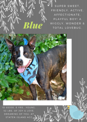 "All Star, Being Alone, and Baseball: SUPER SWEET  FRIENDLY, ACTIVE  AFFECTIONATE  PLAYFUL BOY! A  Blue  WIGGLY. WONDER &  TOTAL LOVEBUG.  ID 65308, 8 YRS. YOUNG  52 L BS. OF JOY & LOVE  DREAMING OF YOU, AT  STATEN ISLAND ACC. INTAKE DATE: 06-08-2019   Sweet, Older Pooch Blue @ SI ACC  If you watch his video below, and we asked you what you thought Blue's age was, we bet a dollar to a dozen you would say he is a year old.  But you would be wrong.  We couldn't fault you for thinking this wiggly, affectionate, super social sweetheart is a puppy.  We would have thought the same.  But happy hearted, Blue is 8 years old.  He's almost a senior!   But this amazing kid with his ever present grin, and who is constantly in motion, isn't ready for dozing in a dog bed yet.  He's raring to go, whether on a run or a hike or a swim in the lake.  He seems to love other dogs, and he tries all the time to get in people's laps for cuddles and kisses.  He's got more energy than dogs half his age, but a lot more wisdom too.  If you are looking for a tail wagging wonderful friend who will shower you with kisses, and be up for any adventure, look no further.  Blue has the biggest heart of any dog we've seen, and he's ready for his perfect family.  Please don't let him wait too long.  Message our page or email us at MustLoveDogsNYC@gmail.com if you can foster or adopt him.    A volunteer writes: Blue was brought to us because his owner left Blue with a friend. Due to circumstances, the owner is unable to reclaim Blue and no one is able to care for Blue long term.  A volunteer writes: ""Blue was surrendered as a stray, and he's now looking for a new place to call home. He looks and acts like a very young dog, so we'll see if his age will change on his profile. He did well in playgroup with Nanouk, and he's very friendly with people. He's in adoptions now at SIACC.""   A staff member writes: ""Hey, Blue!""  That is a popular refrain shouted from the stands at umpires at a baseball game when a call goes against the home team. You will never strike out with this Blue, who is playing for Team ACC out in Staten Island. A true all-star of a pup, he certainly could lead the majors in stolen bases as he is fast runner with a ton of energy.   If you are looking for a friend to bring some excitement to your home, one who knows how to be a team player, Blue could be for you! Come down to Staten Island's Care Center to see if you and Blue are destined for a Hall of Fame match-up!""  MY MOVIE  Blue - handsome and friendly https://www.youtube.com/watch?v=Jq4fWBdO1ec     BLUE, ID# 65308, 8 yrs old, 52 lbs, Unaltered Male Staten Island ACC, Large Mixed Breed, Black / White    Surrender Reason:  his owner left Blue with a friend when being arrested. Due to circumstances, the owner is unable to reclaim Blue and no one is able to care for Blue long term. Shelter Assessment Rating: LEVEL 2 No young children (under 5) No cats Medical Behavior Rating:  INTAKE PROFILE - BASIC INFORMATION: Blue is a black and white, male, large mixed breed approximately 8 year old dog that was brought in due to his owner being arrested. Blue previously lived with 2 adults. Blue is friendly and outgoing around strangers. Blue has no experience around children. Blue has spent time around a small mixed breed male dog. He was respectful, relaxed and playful. Blue will lunge and growl around cats. He has no ressknown ressource guarding issues and no known bigte history. Blue is housetrained and his owner describes his energy level as very high.   Other Notes: Blue will destroy furniture and has escaped a 10 ft fence. He is nervous during storms, fireworks and will hide. Blue is not bothered by having his bowl touched, his treats taken away, his toys taken away, being pushed off furniture, being held, being disturbed while sleeping, being given a bath, having his dog brushed, having his nails trimmed, or when someone unfamiliar approaches the yard or house.  Has this dog ever had any medical issues? No  Medical Notes Blue has no known medical issues  For a New Family to Know Blue can best be described as friendly, confident, and excitable. His favorite activity is playing with other dogs. When at home, Blue tends to follow his human around. His favorite toys are chew bones. He loves to play chase, and is use to being indoors and outdoors. Blue is use to sleeping in a crate and eats both wet and dry food. Blue is house trained and and prefers to go to the bathroom on cement. When left alone in the house Blue will escape. Blue knows the command sit, and gets his exercise playing in the yard. On leash Blue pulls very hard. When off leash, Blue will wander but will come back.  BEHAVIOR NOTES   Means of surrender (length of time in previous home): agency Previously lived with: 2 adults Behavior toward strangers: friendly/outgoing Behavior toward children: no prior experience Behavior toward dogs: respectful, relaxed, played Behavior toward cats: lunge, growls Resource guarding: None reported Bite history: None reported Housetrained: Yes Energy level/descriptors: very high Other Notes: Blue was reported to destroy furniture and escaped a 10 foot fence  SAFER ASSESSMENT:   Summary:  Leash Walking Strength and pulling: moderate Reactivity to humans: inconclusive Reactivity to dogs: inconclusive Leash walking comments:   Sociability Loose in room (15-20 seconds): moderately social Call over: approaches readily Sociability comments:   Handling  Soft handling: accepts contact Exuberant handling: seeks contact Comments: attempts to jump up on assessor  Arousal Jog: Engages in play with handler (loose, soft) Arousal comments:   Knock: Approaches (loose) Knock Comments:   Toy: Grips, relinquishes  Toy comments:   PLAYGROUP NOTES - DOG TO DOG SUMMARIES:  6/11/19: Blue was introduced to a neutered male. When the male attempted to mount him, he gave a slight grumble. They did not play but were comfortable in the same space.  INTAKE BEHAVIOR: Date of intake: 8-Jun-2019 Summary: loose, wiggly   MEDICAL BEHAVIOR: Date of initial: 9-Jun-2019 Summary: hyper, friendly   ENERGY LEVEL: very high  BEHAVIOR DETERMINATION: Level 2 Behavior Asilomar TM - Treatable-Manageable  Recommendations:  No young children (under 5) No cats  Recommendations comments:  Due to the high level of jumping seen at the care center, we recommend a home without young children. Older children who are comfortable around large, jumpy dogs should have an in-depth interaction prior to adoption.   Blue was reported to lunge and growl at cats. Due to this, we recommend a home without any cats.  Potential challenges:  Destructive behavior Basic manners/poor impulse control Strength/leash pulling  Potential challenges comments:  Blue is reported to show destructive behavior in the home, such as chewing on furniture. We are unaware of what, if any, attempts were made to remedy this behavior but we suggest to future adopters that Blue will need to be provided with physical and mental stimulation and with a variety of appropriate and engaging chew toys so he can engage in necessary chewing behavior without damage to human objects. Please see the handout on destructive behavior.  Blue has been seen to jump up on handlers. It is recommended that default behaviors such as ""Leave it"", ""Sit/Stay"", ""Down"" are reinforced to substitute any frustration and teach her to control her impulses instead of simply reacting; proper management is also advised. Force-free, reward based training only is recommended. Please see the handout on basic manners/poor impulse control.  Blue is a very, strong dog with the capability to pull over an average adopter. His adopter must be prepared and able to handle a dog of this size and strength. It is recommended that he be walked on a front clip harness or head halter, which help diminish his strength through leverage, and that he be trained using positive reinforcement, reward based training to not pull on leash. Please see the handout on strength/leash-pulling.  MEDICAL EXAM NOTES   18-Jun-2019  Pre-Op Exam Subjective:  pre-neuter exam; was treated with enrofloxacin for otitis  Objective  BCS- 5/9  EENT: Eyes clear, AU-mild erythema and brown debris, no nasal or ocular discharge noted Oral Exam: mild tartar PLN: No enlargements noted H/L: NSR, NMA, CRT < 2, Lungs clear, eupneic ABD: Non painful, no masses palpated U/G: MI, 2 descended testicles  MSI: Ambulatory x 4, skin free of parasites, no masses noted, healthy hair coat CNS: Mentation appropriate - no signs of neurologic abnormalities Rectal: external wnl  Assessment:  otitis externa Plan:  neuter today applied oti-pack AU  18-Jun-2019  Spay/Neuter Summary [Surgery Template - Dog Neuter] Was this dog a cryptorchid? No If so describe - Pre scrotal Incision Spermatic Cord Ligation with: 2-0 PDS Sub Q closure: 2-0 PDS Skin closure? 2-0 PDS intradermal  18-Jun-2019  Surgical Notes Post Surgery Note: 1:11 PM Anesthesia Summary: Canine NEUTER Pre Medication: Hydromorphone 2 mg/ml – 1.18 ml IM, once. Dexmedetomidine 0.5 mg/ml – 0.14 ml IM, once. Induction:  Midazolam 5 mg/ml- 0.47 ml IV, once Propofol 10 mg/ml – 9.46 ml IV, once. Testicular block: Lidocaine/Sterile water/ (1.18 mL/2.82 mL), administered pre-operatively. Anesthesia Notes:  Size 9 mm . ET tube placed, maintained general anesthesia throughout procedure on variable isoflurane and variable O2. Used (rebreathing) system with 3 L bag.  20 g IVC placed in L cephalic vessel.  Intraoperative IV LRS at 5-10mL/kg/hr at 300 mL/hr NSAID: Rimadyl 50mg/mL injectable, 1.89 mL, SQ, once post-operatively, for post-operative pain relief.  Recovery Status: Uneventful Anesthetist/Surgical Monitor : 1289/0715 Start 1 tablet of Caprofen 100 mg SID PO x 3 days as pain management.  9-Jun-2019  DVM Intake Exam Estimated age: 8 years  Microchip noted on Intake? no, ACC implant  Microchip Number (If Applicable): History : stray  Subjective: active, alert and responsive  Observed Behavior - hyper, friendly  Evidence of Cruelty seen - no  Evidence of Trauma seen - no  Objective  T = P = R = BCS- 5/9  EENT: Eyes clear, ears- otitis externa, no nasal or ocular discharge noted Oral Exam: mild tartar PLN: No enlargements noted H/L: NSR, NMA, CRT < 2, Lungs clear, eupnic ABD: Non painful, no masses palpated U/G: wnl, intact  MSI: Ambulatory x 4, skin free of parasites, no masses noted, healthy hair coat CNS: Mentation appropriate - no signs of neurologic abnormalities Rectal: external wnl  Assessment: otitis  Prognosis: good Plan: baytril (enrfloxacin) 136mg PO SID x 7 days recheck ears in 5- 7 days.  SURGERY: Temporary waiver due to otitis  ***  TO FOSTER OR ADOPT  ***   If you would like to adopt a NYC ACC dog, and can get to the shelter in person to complete the adoption process, you can contact the shelter directly. We have provided the Brooklyn, Staten Island and Manhattan information below. Adoption hours at these facilities is Noon – 8:00 p.m. (6:30 on weekends)  If you CANNOT get to the shelter in person and you want to FOSTER OR ADOPT a NYC ACC Dog, you can PRIVATE MESSAGE our Must Love Dogs page for assistance. PLEASE NOTE: You MUST live in NY, NJ, PA, CT, RI, DE, MD, MA, NH, VT, ME or Northern VA. You will need to fill out applications with a New Hope Rescue Partner to foster or adopt a NYC ACC dog. Transport is available if you live within the prescribed range of states.  Shelter contact information: Phone number (212) 788-4000 Email adopt@nycacc.org  Shelter Addresses:  Brooklyn Shelter: 2336 Linden Boulevard Brooklyn, NY 11208  Manhattan Shelter: 326 East 110 St. New York, NY 10029  Staten Island Shelter: 3139 Veterans Road West Staten Island, NY 10309  *** NEW NYC ACC RATING SYSTEM ***  Level 1  Dogs with Level 1 determinations are suitable for the majority of homes. These dogs are not displaying concerning behaviors in shelter, and the owner surrender profile (where available) is positive.   Level 2   Dogs with Level 2 determinations will be suitable for adopters with some previous dog experience. They will have displayed behavior in the shelter (or have owner reported behavior) that requires some training, or is simply not suitable for an adopter with minimal experience.   Level 3  Dogs with Level 3 determinations will need to go to homes with experienced adopters, and the ACC strongly suggest that the adopter have prior experience with the challenges described and/or an understanding of the challenge and how to manage it safely in a home environment. In many cases, a trainer will be needed to manage and work on the behaviors safely in a home environment."