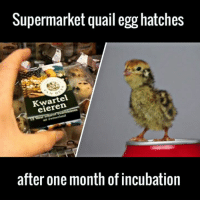 Dank, 🤖, and Via: Supermarket quail egg hatches  eieren  after one month of incubation Will never look at eggs the same way again 🙌🙌  via Caters News Agency