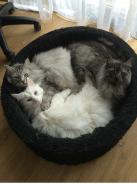 Tumblr, Blog, and Com: supermodelcats:  A perfect circle  Photogenic balls of fluff