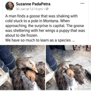 Frozen, Capital, and Montana: Suzanne PadaPetra  30 Jan at 12:14 pm  A man finds a goose that was shaking with  cold stuck to a pole in Montana. When  approaching, the surprise is capital. The goose  was sheltering with her wings a puppy that was  about to die frozen.  We have so much to learn as a species This Goose Is Very Wholesome