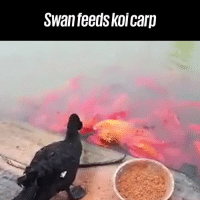 Dank, Friends, and 🤖: Swanfeeds koi carp This swan just made some new friends 😂😂