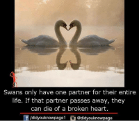 Life, Memes, and Heart: Swans only have one partner for their entire  life. If that partner passes away, they  can die of a broken heart.  団/didyouknowpagel。@didyouknowpage