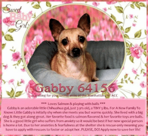 **FOSTER or ADOPTER NEEDED ASAP** <3 Loves Salmon & playing with balls <3 Gabby is an adorable little Chihuahua gal, just 3 yrs old, a TINY 5 lbs. For A New Family To Know: Little Gabby is initially shy when she meets you but warms quickly. She lived with a big dog & they got along great. Her favorite food is salmon flavored & her favorite toys are balls. She is a good little girl who suffers from anxiety so it would be best if her new special person is home a lot. Due to her anxieties & fearfulness at the shelter she is rescue-only meaning you have to apply with rescues to foster or adopt her. PLEASE, DO! Apply now to save her life!   ✔Pledge✔Tag✔Share✔FOSTER✔ADOPT✔Save a life!  Gabby 64156 Small Mixed Breed Sex female Age 3 yrs (approx.) 5 lbs  My health has been checked.  My vaccinations are up to date. My worming is up to date.  I have been micro-chipped.   I am waiting for you at the Manhattan, NY ACC.  Please, Please, Please, save me!  ******************************************** *** TO FOSTER OR ADOPT ***   To FOSTER or ADOPT, To SAVE her LIFE, SPEAK UP NOW & apply with rescues OR message Must Love Dogs - Saving NYC Dogs OR email MustLoveDogsNYC@gmail.com IMMEDIATELY!!!! HURRY, she IS OUT OF TIME! :(  The general rule is to foster you have to be within 4 hours of the NYC ACC approved New Hope partner rescues you are applying with and to adopt you will have to be in the general NE US area; NY, NJ, CT, PA, DC, MD, DE, NH, RI, MA, VT & ME (some rescues will transport to VA).  ===========================  NOTE: WE HAVE NO OTHER INFORMATION THAN WHAT IS LISTED WITH THIS FLYER.  Previously lived with: Adults, children, and a dog Behavior toward strangers: Tenses, barks, snaps if they approach too quickly Behavior toward children: Reactive and snaps at children she does not know. Good with the children in the home. Behavior toward dogs: Got along with the dog in the home Resource guarding: Gabby will snap if her food is touched while she is eating. Bite history: None reported Energy level/descriptors: Gabby is described as having a medium-high level of activity. Other Notes: Gabby is reported to be extremely anxious and will chew on her legs.  BEHAVIOR DETERMINATION: New Hope Only Behavior Asilomar TM - Treatable-Manageable  Recommendations: No children (under 13)/Place with a New Hope partner. Recommendations comments: No children: Gabby is reported to be reactive to and snap at unfamiliar children. For this reason, we recommend an an adult only home. Place with a New Hope partner: Due to Gabby's history of reactivity towards people and the behavior she is displaying at the care center (snapping at handlers and only allowing select people to handle her) we recommend placement with a New Hope partner who can provide any necessary behavior modification (force-free, positive reinforcement-based) and re-evaluate behavior in a stable home environment before placement into a permanent home.  Potential challenges: Resource guarding/Fearful/potential for defensive aggression/Anxiety Potential challenges comments: Resource guarding: Gabby is reported to snap if her food is touched while she is eating. Please see handout on Resource Guarding. Fearful/potential for defensive aggression: Gabby is reported to be fearful of new people, barking and snapping at them. At the care center, she has snapped at handlers. Please see handout on Fearful/potential for defensive aggression. Anxiety: Gabby is reported to be anxious to the point that she chew on her legs and needed medication to help with the anxiety. Please see handout on Anxiety.  DVM Intake Exam Estimated age: 3 Subjective: BAR, euhydrated, MM pink/moist, CRT Observed Behavior: biting at handler  Evidence of Cruelty seen -n Evidence of Trauma seen -n EENT: Anterior chambers clear OU; no corneal defects; no ocular or nasal discharge; no oral masses or ulcerations seen Oral Exam: teeth in good cond – no calculus; no staining; all permanent teeth present  PLN: No enlargements noted H/L: No murmurs or arrhythmias; strong, synchronous femoral pulses bilaterally; Eupneic; normal bronchovesicular sounds in all fields; no crackles/wheezes ABD: Non painful, no masses palpated U/G: spayed female  MSI: BCS 5/9 ; Ambulatory x 4 with no lameness, skin free of parasites, no masses noted, healthy hair coat CNS: Appropriate mentation; no cranial nerve deficits; no proprioceptive deficits; no ataxia Rectal: externally normal  Assessment: Healthy   ************************************** RE: ACC site Just because a dog is not on the ACC site does NOT necessarily mean safe. There are many reasons for this like a hold or an eval has not been conducted yet or the dog is rescue-only... the list goes on... Please, do share & apply to foster/adopt these pups as well until their thread is updated with their most current status. TY! ****************************************** About Must Love Dogs - Saving NYC Dogs: We are a group of advocates (NOT a shelter NOR a rescue group) dedicated to finding loving homes for NYC dogs in desperate need. ALL the dogs on our site need Rescue, Fosters, or Adopters & that ASAP as they are in NYC high-kill shelters. If you cannot foster or adopt, please share them far & wide. Thank you for caring!! <3 ****************************************** RESCUES: * Indicates New Hope Rescue partner is accepting applications for fosters and/or adopters. http://www.nycacc.org/get-involved/new-hope/nhpartners ****************************************** Beamer Maximillian Caro Hocker Carolin Hocker: Swed  Baby'  Gabby 64156  is waiting for your loving arms at the Manhattán, NY ACC  ***Loves Salmon & playing with balls ***  Gabby is an adorable little Chihuahua gal, just 3 yrs old, a TINY 5 lbs. For A New Family To  Know: Little Gabby is initially shy when she meets you but warms quickly. She lived with a big  dog & they got along great. Her favorite food is salmon flavored & her favorite toys are balls  She is a good little girl who suffers from anxiety so it would be best if her new special person  is home a lot. Due to her anxieties & fearfulness at the shelter she is rescue-only meaning you  have to applywith rescues to foster or  adopt her. PLEASE, DO! Apply now to save her life! **FOSTER or ADOPTER NEEDED ASAP** <3 Loves Salmon & playing with balls <3 Gabby is an adorable little Chihuahua gal, just 3 yrs old, a TINY 5 lbs. For A New Family To Know: Little Gabby is initially shy when she meets you but warms quickly. She lived with a big dog & they got along great. Her favorite food is salmon flavored & her favorite toys are balls. She is a good little girl who suffers from anxiety so it would be best if her new special person is home a lot. Due to her anxieties & fearfulness at the shelter she is rescue-only meaning you have to apply with rescues to foster or adopt her. PLEASE, DO! Apply now to save her life!   ✔Pledge✔Tag✔Share✔FOSTER✔ADOPT✔Save a life!  Gabby 64156 Small Mixed Breed Sex female Age 3 yrs (approx.) 5 lbs  My health has been checked.  My vaccinations are up to date. My worming is up to date.  I have been micro-chipped.   I am waiting for you at the Manhattan, NY ACC.  Please, Please, Please, save me!  ******************************************** *** TO FOSTER OR ADOPT ***   To FOSTER or ADOPT, To SAVE her LIFE, SPEAK UP NOW & apply with rescues OR message Must Love Dogs - Saving NYC Dogs OR email MustLoveDogsNYC@gmail.com IMMEDIATELY!!!! HURRY, she IS OUT OF TIME! :(  The general rule is to foster you have to be within 4 hours of the NYC ACC approved New Hope partner rescues you are applying with and to adopt you will have to be in the general NE US area; NY, NJ, CT, PA, DC, MD, DE, NH, RI, MA, VT & ME (some rescues will transport to VA).  ===========================  NOTE: WE HAVE NO OTHER INFORMATION THAN WHAT IS LISTED WITH THIS FLYER.  Previously lived with: Adults, children, and a dog Behavior toward strangers: Tenses, barks, snaps if they approach too quickly Behavior toward children: Reactive and snaps at children she does not know. Good with the children in the home. Behavior toward dogs: Got along with the dog in the home Resource guarding: Gabby will snap if her food is touched while she is eating. Bite history: None reported Energy level/descriptors: Gabby is described as having a medium-high level of activity. Other Notes: Gabby is reported to be extremely anxious and will chew on her legs.  BEHAVIOR DETERMINATION: New Hope Only Behavior Asilomar TM - Treatable-Manageable  Recommendations: No children (under 13)/Place with a New Hope partner. Recommendations comments: No children: Gabby is reported to be reactive to and snap at unfamiliar children. For this reason, we recommend an an adult only home. Place with a New Hope partner: Due to Gabby's history of reactivity towards people and the behavior she is displaying at the care center (snapping at handlers and only allowing select people to handle her) we recommend placement with a New Hope partner who can provide any necessary behavior modification (force-free, positive reinforcement-based) and re-evaluate behavior in a stable home environment before placement into a permanent home.  Potential challenges: Resource guarding/Fearful/potential for defensive aggression/Anxiety Potential challenges comments: Resource guarding: Gabby is reported to snap if her food is touched while she is eating. Please see handout on Resource Guarding. Fearful/potential for defensive aggression: Gabby is reported to be fearful of new people, barking and snapping at them. At the care center, she has snapped at handlers. Please see handout on Fearful/potential for defensive aggression. Anxiety: Gabby is reported to be anxious to the point that she chew on her legs and needed medication to help with the anxiety. Please see handout on Anxiety.  DVM Intake Exam Estimated age: 3 Subjective: BAR, euhydrated, MM pink/moist, CRT Observed Behavior: biting at handler  Evidence of Cruelty seen -n Evidence of Trauma seen -n EENT: Anterior chambers clear OU; no corneal defects; no ocular or nasal discharge; no oral masses or ulcerations seen Oral Exam: teeth in good cond – no calculus; no staining; all permanent teeth present  PLN: No enlargements noted H/L: No murmurs or arrhythmias; strong, synchronous femoral pulses bilaterally; Eupneic; normal bronchovesicular sounds in all fields; no crackles/wheezes ABD: Non painful, no masses palpated U/G: spayed female  MSI: BCS 5/9 ; Ambulatory x 4 with no lameness, skin free of parasites, no masses noted, healthy hair coat CNS: Appropriate mentation; no cranial nerve deficits; no proprioceptive deficits; no ataxia Rectal: externally normal  Assessment: Healthy   ************************************** RE: ACC site Just because a dog is not on the ACC site does NOT necessarily mean safe. There are many reasons for this like a hold or an eval has not been conducted yet or the dog is rescue-only... the list goes on... Please, do share & apply to foster/adopt these pups as well until their thread is updated with their most current status. TY! ****************************************** About Must Love Dogs - Saving NYC Dogs: We are a group of advocates (NOT a shelter NOR a rescue group) dedicated to finding loving homes for NYC dogs in desperate need. ALL the dogs on our site need Rescue, Fosters, or Adopters & that ASAP as they are in NYC high-kill shelters. If you cannot foster or adopt, please share them far & wide. Thank you for caring!! <3 ****************************************** RESCUES: * Indicates New Hope Rescue partner is accepting applications for fosters and/or adopters. http://www.nycacc.org/get-involved/new-hope/nhpartners ****************************************** Beamer Maximillian Caro Hocker Carolin Hocker