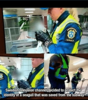 Subway, Television, and Swedish: Swedish television channel decided to protect the  identity of a seagull that was saved from the súbway He is on witness protection program
