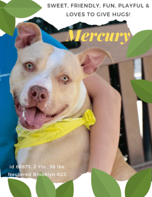 "TO BE KILLED – 7/25/2019  He's young, joyful, energetic and playful. He's simply a doll. Every one of the staff and volunteers adore MERCURY. Like all young dogs he needs some training and structure to be the complete rock star we know he can be, but no one is sweeter or more eager to please. This poor kid has been dumped twice, and he hasn't a clue why no one wants to love him forever and that is now causing him some anxiety. How do you tell him he just went to the wrong people, because he needed more experienced adopters (or a foster) who could give him the guidance he needs, and teach him calming exercises like ""down"" and ""place"" so he could channel all the juvenile enthusiasm and excitement in a positive way, and allow him to remain calm in the face of distractions. This is basic stuff, people, things he would love to learn, because he loves to love. Hugs are his speciality, kisses are free. As a staff member writes: ""Look at this beautiful boy! Mercury always greets me with excitement and loves to give hugs. When I bring the pool out, forget it! He cant hide his joy. The best thing about him is his love for toys! Give him his favorite ball and he will run around with it in his mouth. Mercury is social and he would love to be part of your family. Come to Brooklyn Animal Care Centers and meet this ball of fun!"" PLEASE Hurry and MESSAGE our page or email us at MustLoveDogsNYC@gmail.com for assistance fostering or adopting this sweet boy.. Due to his rating he must go to an adult only home (no children under Age 13).   A volunteer writes: ""Mercury is so handsome and friendly, and he appeared to do well with the other dogs we introduced him to.""  And seasoned volunteer Sandra Mcdonald writes: ""Mercury is a sweet, energetic boy, his tail never stops wagging. he loves to play outside and will even go in the pool.""  My Movies! Mercury is a sweet boy!  https://www.youtube.com/watch?v=HC1TxInLdaQ  Mercury!  https://www.youtube.com/watch?v=19NpTCv2n3M   MERCURY, ID# 66675, 2 Yrs. old, 56 lbs, Neutered Male Brooklyn ACC, Large Mixed Breed, Tan / White I came to the Shelter as a Return, 7/7/2019 Shelter Assessment Rating: New Hope Rescue Only Medical Behavior Rating: 1. Green  AT RISK MEMO: Poor Mercury is deteriorating here and it is becoming more difficult to handle him. We are recommending placement with an experienced rescue group at this time. Mercury is otherwise healthy.  INTAKE NOTES – DATE OF INTAKE, 6/21/2019: Upon intake: Mercury was easily transferred from a crate. He allowed scanning for a microchip, collaring and positioning for a picture. He kept a loose body and his tail remained pointed up.  SURRENDER NOTE – BASIC INFORMATION: Mercury greeted staff members with a loose and wiggly body.  SHELTER ASSESSMENT SUMMARIES – Date of assessment: 6/25/2019  Leash Walking  Strength and pulling: Moderate  Reactivity to humans: None Reactivity to dogs: None Leash walking comments:   Sociability  Loose in room (15-20 seconds): Highly social, loose  Call over: Approaches readily  Sociability comments:   Handling  Soft handling: Seeks contact, loose  Exuberant handling: Seeks contact, loose  Handling comments: Mercury continued to attempt to jump up towards handler in a social manner   Arousal  Jog: Follows, loose  Arousal comments:   Knock  Knock Comments: No response   Toy  Toy comments: No interest   PLAYGROUP NOTES – DOG TO DOG SUMMARIES: Mercury's owner did not provide information about his past dog-dog history. His past behavior around other dogs is unknown.   7/23: When off leash at the Care Center, Mercury is introduced to a novel female dog. He enters the pens with a high energy level and once he sees the female he begins to fixate on her. The female approaches the gate and play bows. But then muzzle punches the gate and begins to gnash his teeth. He is muzzled as a precaution with his leash held and the gate is opened. Mercury alternates between attempting to removed the muzzle and pouncing on the female.   INTAKE BEHAVIOR - Date of intake:: 6/21/2019 Summary:: Loose bodied, allowed all handling  MEDICAL BEHAVIOR - Date of initial:: 6/21/2019 Summary:: Relaxed, wagging, allowed all handling  ENERGY LEVEL:: Mercury displays a high energy level in the care center. We recommend daily mental and physical stimulation as way to direct his energy and enthusiasm.  IN SHELTER OBSERVATIONS:  6/25 Since intake, Mercury has been observed to be loose, social and attention-seeking with handlers. At times, he has been observed to be a bit shy though readily warms up.   7/9/19 During an interaction, Mercury was taken outside to the pens where he allowed a staff member to replace and re-fit him with a collar. After exploring the pens, Mercury was observed to jump up, somewhat exuberantly, onto the staff member's lap and solicit attention. Mercury was also observed to remain neutral and loose throughout his interaction. Once his session was completed, the staff member moved to pick up one of the collars that had been left and Mercury began to rush toward the handler. He was then observed to jump up onto and grasped the handler's back with his paws, while mouthing her back with mild-moderate pressure. The handler attempted to move away from Mercury by standing on top of the play slide and Mercury followed, continuing to focus on the staff member. Mercury was observed to once again jump up onto the handler and mouth toward her backside before a second staff member was able to pull Mercury away by his leash. Upon attempts to walk him away, he was observed to escalate to head flipping toward the leash but settled and refocused quickly. He allowed the staff member to place a rope around him and return him to his kennel without issue.   7/12/19 While out in the pens with four staff members Mercury was neutral, exploring the pens. Once toys were introduced he became soft engaging in play. He readily traded toys, would chase after them and jump into the pool on his own multiple times. He opened up, solicited attention and accepted touch. Later in the day, a high-value treat was given to Mercury after he had engaged staff walked past his kennel and he grumbled. When staff stopped in front of his kennel he growled loudly.   7/19 (AM) When a handler was attempting to remove Mercury from his kennel he fixated on her hand and attempt to bite her. She was able to remove her hand quickly before contact was made. The handler closed the kennel door quickly and locked his kennel, giving him time to decompress. (PM) When a handler was closing the transfer door to the kennel next to Mercury, he began to snarl and attempted to bite the handler's hand through the bars. He did not make contact and when the handler turned to check on Mercury he was snarling and baring his teeth at her. Later on in the day, a staff member was cleaning the kennel next to Mercury's and he was observed by two other handlers to snarl and hard bark at the other staff member.   Bite history: First incident: The owner stated that his daughter was playing with the ball and that it was unknown on what caused Mercury to bite her on her upper right arm. The daughter sustainted puncture wounds. Second incident: The owner stated that he was bitten on the right-hand resulting in puncture wounds, owner is unclear as to why Mercury bit.  BEHAVIOR DETERMINATION:: New Hope Only Behavior Asilomar: TM - Treatable-Manageable  Recommendations:: No children (under 13),Place with a New Hope partner  Recommendations comments:: No children (under 13): Due to Mercury's previous bite incidents, we feel he would be best set up to succeed if placed in an adult only home environment. Place with a New Hope partner: Because of Mercury's multiple bite history, we feel he would be best set up to succeed if placed with an experienced rescue group who can reassess his behavior in a stable home environment. Force-free, reward based training only is advised when introducing or exposing Mercury to new and unfamiliar situations. Guidance from a professional trainer or veterinary behaviorist is highly advised.   Potential challenges: : Basic manners/poor impulse control,Fearful,Multiple-bite history/risk of future aggression  Potential challenges comments:: Mercury appears to jump up high in a social manner when seeking attention. Please see handout on Basic Manners/Poor impulse control. Mercury has been observed to be only slightly timid when meeting strangers at times though has been observed to readily warm up and display social behavior.   MEDICAL NOTES  6/21/2019 [DVM Intake] DVM Intake Exam Estimated age: 2 years Microchip noted on Intake? scan negative History : stray Subjective: Observed Behavior - relaxed body, wagging tail, allowed all handling Evidence of Cruelty seen - no Evidence of Trauma seen - no Objective BCS 5/9 EENT: Eyes clear, ears clean, no nasal or ocular discharge noted Oral Exam: PLN: No enlargements noted H/L: NSR, NMA, CRT < 2, Lungs clear, eupneic ABD: Non painful, no masses palpated U/G: MI MSI: Ambulatory x 4, skin free of parasites, no masses noted, healthy hair coat CNS: Mentation appropriate - no signs of neurologic abnormalities Rectal: Assessment Prognosis: good Plan: SURGERY: Okay for surgery   7/20/2019 Start trazodone 5 mg/kg po bid indefinitely for shelter  7/21/2019 Hx: 6/21 intake APH 7/3 Neutered 7/20 started on traz SO: BAR, good appetite, no noted elimination, good energy level, soliciting attention, took treats No csvd EENT: eyes clear, ears no scratch or headshake, no cough, sneeze or discharge noted on exam H/L: Eupneic, good RR/RE MSI: ambulatory, clean and shiny haircoat. no fecal staining noted Neuro: active and appropriate A: visually healthy Prog good P: Traz 5mg/kg PO BID   *** TO FOSTER OR ADOPT ***  MERCURY IS RESCUE ONLY. You must fill out applications with New Hope Rescues to foster or adopt him. He cannot be reserved online at the ACC ARL, nor can he be direct adopted at the shelter. PLEASE HURRY AND MESSAGE OUR PAGE FOR ASSISTANCE!   HOW TO RESERVE A ""TO BE KILLED"" DOG ONLINE (only for those who can get to the shelter IN PERSON to complete the adoption process, and only for the dogs on the list NOT marked New Hope Rescue Only). Follow our Step by Step directions below!   *PLEASE NOTE – YOU MUST USE A PC OR TABLET – PHONE RESERVES WILL NOT WORK! **   STEP 1: CLICK ON THIS RESERVE LINK: https://newhope.shelterbuddy.com/Animal/List  Step 2: Go to the red menu button on the top right corner, click register and fill in your info.   Step 3: Go to your email and verify account  \ Step 4: Go back to the website, click the menu button and view available dogs   Step 5: Scroll to the animal you are interested and click reserve   STEP 6 ( MOST IMPORTANT STEP ): GO TO THE MENU AGAIN AND VIEW YOUR CART. THE ANIMAL SHOULD NOW BE IN YOUR CART!  Step 7: Fill in your credit card info and complete transaction   HOW TO FOSTER OR ADOPT IF YOU *CANNOT* GET TO THE SHELTER IN PERSON, OR IF THE DOG IS NEW HOPE RESCUE ONLY!   You must live within 3 – 4 hours of NY, NJ, PA, CT, RI, DE, MD, MA, NH, VT, ME or Norther VA.   Please PM our page for assistance. You will need to fill out applications with a New Hope Rescue Partner to foster or adopt a dog on the To Be Killed list, including those labelled Rescue Only. Hurry please, time is short, and the Rescues need time to process the applications.: SWEET, FRIENDLY, FUN, PLAYFUL &  LOVES TO GIVE HUGS!  Mercury  enters  id 66675, 2 Yrs., 56 lbs.  Neutered Brooklyn ACC TO BE KILLED – 7/25/2019  He's young, joyful, energetic and playful. He's simply a doll. Every one of the staff and volunteers adore MERCURY. Like all young dogs he needs some training and structure to be the complete rock star we know he can be, but no one is sweeter or more eager to please. This poor kid has been dumped twice, and he hasn't a clue why no one wants to love him forever and that is now causing him some anxiety. How do you tell him he just went to the wrong people, because he needed more experienced adopters (or a foster) who could give him the guidance he needs, and teach him calming exercises like ""down"" and ""place"" so he could channel all the juvenile enthusiasm and excitement in a positive way, and allow him to remain calm in the face of distractions. This is basic stuff, people, things he would love to learn, because he loves to love. Hugs are his speciality, kisses are free. As a staff member writes: ""Look at this beautiful boy! Mercury always greets me with excitement and loves to give hugs. When I bring the pool out, forget it! He cant hide his joy. The best thing about him is his love for toys! Give him his favorite ball and he will run around with it in his mouth. Mercury is social and he would love to be part of your family. Come to Brooklyn Animal Care Centers and meet this ball of fun!"" PLEASE Hurry and MESSAGE our page or email us at MustLoveDogsNYC@gmail.com for assistance fostering or adopting this sweet boy.. Due to his rating he must go to an adult only home (no children under Age 13).   A volunteer writes: ""Mercury is so handsome and friendly, and he appeared to do well with the other dogs we introduced him to.""  And seasoned volunteer Sandra Mcdonald writes: ""Mercury is a sweet, energetic boy, his tail never stops wagging. he loves to play outside and will even go in the pool.""  My Movies! Mercury is a sweet boy!  https://www.youtube.com/watch?v=HC1TxInLdaQ  Mercury!  https://www.youtube.com/watch?v=19NpTCv2n3M   MERCURY, ID# 66675, 2 Yrs. old, 56 lbs, Neutered Male Brooklyn ACC, Large Mixed Breed, Tan / White I came to the Shelter as a Return, 7/7/2019 Shelter Assessment Rating: New Hope Rescue Only Medical Behavior Rating: 1. Green  AT RISK MEMO: Poor Mercury is deteriorating here and it is becoming more difficult to handle him. We are recommending placement with an experienced rescue group at this time. Mercury is otherwise healthy.  INTAKE NOTES – DATE OF INTAKE, 6/21/2019: Upon intake: Mercury was easily transferred from a crate. He allowed scanning for a microchip, collaring and positioning for a picture. He kept a loose body and his tail remained pointed up.  SURRENDER NOTE – BASIC INFORMATION: Mercury greeted staff members with a loose and wiggly body.  SHELTER ASSESSMENT SUMMARIES – Date of assessment: 6/25/2019  Leash Walking  Strength and pulling: Moderate  Reactivity to humans: None Reactivity to dogs: None Leash walking comments:   Sociability  Loose in room (15-20 seconds): Highly social, loose  Call over: Approaches readily  Sociability comments:   Handling  Soft handling: Seeks contact, loose  Exuberant handling: Seeks contact, loose  Handling comments: Mercury continued to attempt to jump up towards handler in a social manner   Arousal  Jog: Follows, loose  Arousal comments:   Knock  Knock Comments: No response   Toy  Toy comments: No interest   PLAYGROUP NOTES – DOG TO DOG SUMMARIES: Mercury's owner did not provide information about his past dog-dog history. His past behavior around other dogs is unknown.   7/23: When off leash at the Care Center, Mercury is introduced to a novel female dog. He enters the pens with a high energy level and once he sees the female he begins to fixate on her. The female approaches the gate and play bows. But then muzzle punches the gate and begins to gnash his teeth. He is muzzled as a precaution with his leash held and the gate is opened. Mercury alternates between attempting to removed the muzzle and pouncing on the female.   INTAKE BEHAVIOR - Date of intake:: 6/21/2019 Summary:: Loose bodied, allowed all handling  MEDICAL BEHAVIOR - Date of initial:: 6/21/2019 Summary:: Relaxed, wagging, allowed all handling  ENERGY LEVEL:: Mercury displays a high energy level in the care center. We recommend daily mental and physical stimulation as way to direct his energy and enthusiasm.  IN SHELTER OBSERVATIONS:  6/25 Since intake, Mercury has been observed to be loose, social and attention-seeking with handlers. At times, he has been observed to be a bit shy though readily warms up.   7/9/19 During an interaction, Mercury was taken outside to the pens where he allowed a staff member to replace and re-fit him with a collar. After exploring the pens, Mercury was observed to jump up, somewhat exuberantly, onto the staff member's lap and solicit attention. Mercury was also observed to remain neutral and loose throughout his interaction. Once his session was completed, the staff member moved to pick up one of the collars that had been left and Mercury began to rush toward the handler. He was then observed to jump up onto and grasped the handler's back with his paws, while mouthing her back with mild-moderate pressure. The handler attempted to move away from Mercury by standing on top of the play slide and Mercury followed, continuing to focus on the staff member. Mercury was observed to once again jump up onto the handler and mouth toward her backside before a second staff member was able to pull Mercury away by his leash. Upon attempts to walk him away, he was observed to escalate to head flipping toward the leash but settled and refocused quickly. He allowed the staff member to place a rope around him and return him to his kennel without issue.   7/12/19 While out in the pens with four staff members Mercury was neutral, exploring the pens. Once toys were introduced he became soft engaging in play. He readily traded toys, would chase after them and jump into the pool on his own multiple times. He opened up, solicited attention and accepted touch. Later in the day, a high-value treat was given to Mercury after he had engaged staff walked past his kennel and he grumbled. When staff stopped in front of his kennel he growled loudly.   7/19 (AM) When a handler was attempting to remove Mercury from his kennel he fixated on her hand and attempt to bite her. She was able to remove her hand quickly before contact was made. The handler closed the kennel door quickly and locked his kennel, giving him time to decompress. (PM) When a handler was closing the transfer door to the kennel next to Mercury, he began to snarl and attempted to bite the handler's hand through the bars. He did not make contact and when the handler turned to check on Mercury he was snarling and baring his teeth at her. Later on in the day, a staff member was cleaning the kennel next to Mercury's and he was observed by two other handlers to snarl and hard bark at the other staff member.   Bite history: First incident: The owner stated that his daughter was playing with the ball and that it was unknown on what caused Mercury to bite her on her upper right arm. The daughter sustainted puncture wounds. Second incident: The owner stated that he was bitten on the right-hand resulting in puncture wounds, owner is unclear as to why Mercury bit.  BEHAVIOR DETERMINATION:: New Hope Only Behavior Asilomar: TM - Treatable-Manageable  Recommendations:: No children (under 13),Place with a New Hope partner  Recommendations comments:: No children (under 13): Due to Mercury's previous bite incidents, we feel he would be best set up to succeed if placed in an adult only home environment. Place with a New Hope partner: Because of Mercury's multiple bite history, we feel he would be best set up to succeed if placed with an experienced rescue group who can reassess his behavior in a stable home environment. Force-free, reward based training only is advised when introducing or exposing Mercury to new and unfamiliar situations. Guidance from a professional trainer or veterinary behaviorist is highly advised.   Potential challenges: : Basic manners/poor impulse control,Fearful,Multiple-bite history/risk of future aggression  Potential challenges comments:: Mercury appears to jump up high in a social manner when seeking attention. Please see handout on Basic Manners/Poor impulse control. Mercury has been observed to be only slightly timid when meeting strangers at times though has been observed to readily warm up and display social behavior.   MEDICAL NOTES  6/21/2019 [DVM Intake] DVM Intake Exam Estimated age: 2 years Microchip noted on Intake? scan negative History : stray Subjective: Observed Behavior - relaxed body, wagging tail, allowed all handling Evidence of Cruelty seen - no Evidence of Trauma seen - no Objective BCS 5/9 EENT: Eyes clear, ears clean, no nasal or ocular discharge noted Oral Exam: PLN: No enlargements noted H/L: NSR, NMA, CRT < 2, Lungs clear, eupneic ABD: Non painful, no masses palpated U/G: MI MSI: Ambulatory x 4, skin free of parasites, no masses noted, healthy hair coat CNS: Mentation appropriate - no signs of neurologic abnormalities Rectal: Assessment Prognosis: good Plan: SURGERY: Okay for surgery   7/20/2019 Start trazodone 5 mg/kg po bid indefinitely for shelter  7/21/2019 Hx: 6/21 intake APH 7/3 Neutered 7/20 started on traz SO: BAR, good appetite, no noted elimination, good energy level, soliciting attention, took treats No csvd EENT: eyes clear, ears no scratch or headshake, no cough, sneeze or discharge noted on exam H/L: Eupneic, good RR/RE MSI: ambulatory, clean and shiny haircoat. no fecal staining noted Neuro: active and appropriate A: visually healthy Prog good P: Traz 5mg/kg PO BID   *** TO FOSTER OR ADOPT ***  MERCURY IS RESCUE ONLY. You must fill out applications with New Hope Rescues to foster or adopt him. He cannot be reserved online at the ACC ARL, nor can he be direct adopted at the shelter. PLEASE HURRY AND MESSAGE OUR PAGE FOR ASSISTANCE!   HOW TO RESERVE A ""TO BE KILLED"" DOG ONLINE (only for those who can get to the shelter IN PERSON to complete the adoption process, and only for the dogs on the list NOT marked New Hope Rescue Only). Follow our Step by Step directions below!   *PLEASE NOTE – YOU MUST USE A PC OR TABLET – PHONE RESERVES WILL NOT WORK! **   STEP 1: CLICK ON THIS RESERVE LINK: https://newhope.shelterbuddy.com/Animal/List  Step 2: Go to the red menu button on the top right corner, click register and fill in your info.   Step 3: Go to your email and verify account  \ Step 4: Go back to the website, click the menu button and view available dogs   Step 5: Scroll to the animal you are interested and click reserve   STEP 6 ( MOST IMPORTANT STEP ): GO TO THE MENU AGAIN AND VIEW YOUR CART. THE ANIMAL SHOULD NOW BE IN YOUR CART!  Step 7: Fill in your credit card info and complete transaction   HOW TO FOSTER OR ADOPT IF YOU *CANNOT* GET TO THE SHELTER IN PERSON, OR IF THE DOG IS NEW HOPE RESCUE ONLY!   You must live within 3 – 4 hours of NY, NJ, PA, CT, RI, DE, MD, MA, NH, VT, ME or Norther VA.   Please PM our page for assistance. You will need to fill out applications with a New Hope Rescue Partner to foster or adopt a dog on the To Be Killed list, including those labelled Rescue Only. Hurry please, time is short, and the Rescues need time to process the applications."