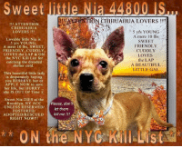 Animals, Beautiful, and Chihuahua: Sweet little Nia 44800  TION CEIHUAHUA LOVERS!  !!! ATTENTION  CHIHUAHUA  LOVERS !!!  5 yfs YOUNG  A mere 10 lbs t  Lovable little Nia is  SWEET  FRIENDLY  CUDDLY  LOVES  the LAP  A BEAUTIFUL  LITTLE GAL  5 yrs YOUNG  A mere 10 lbs, SWEET  FRIENDLY, CUDDLY,  LOVES the LAP & ON  the NYC Kill List for  catching the dreaded  shelter cold.  This beautiful little lady  is desperately hoping  you RESERVE her or  APPLY NOW to save  her life, but HURRY  she IS OUT Of Time :(  Sweet Nia DIES at the  Brooklyn, NY ACC Please, dont  let them  ADOPTED/RESCUED kill me II!  UNLESS RESERVED/  FOSTERED/  RIGHT NOW!!!  ON the NYCKilI List ***** To Be KILLED 10/22/18 in NYC *****  !!! ATTENTION CHIHUAHUA LOVERS !!! Lovable little Nia is 5 yrs YOUNG, A mere 10 lbs, SWEET, FRIENDLY, CUDDLY, LOVES the LAP & ON the NYC Kill List for catching the dreaded shelter cold. This beautiful little lady is desperately hoping you RESERVE her or APPLY NOW to save her life, but HURRY... she IS OUT Of Time :( Sweet Nia DIES at the Brooklyn, NY ACC UNLESS RESERVED/FOSTERED/ADOPTED/RESCUED RIGHT NOW!!!  ******************************************** ** ON the PUBLIC LIST ** RESERVE her RIGHT NOW & Save her Life via the ACC LINK > https://newhope.shelterbuddy.com/Animal/Profile/Index/848a2c3f-a021-4f65-86a2-716b367be9ef or Message Must Love Dogs - Saving NYC Dogs immediately. SAVE her LIFE RIGHT NOW!!! ********************************************  The general rule is to foster you have to be within 4 hours of the NYC ACC approved New Hope partner rescues you are applying with and to adopt you will have to be in the general NE US area; NY, NJ, CT, PA, DC, MD, DE, NH, RI, MA, VT & ME (some rescues will transport to VA).  ********************************************  Nia 44800 Small Mixed Breed Sex female Age 5 yrs (approx.) - 10 lbs My health has been checked.  My vaccinations are up to date. My worming is up to date.  I have been micro-chipped.  I am waiting for you at the 
