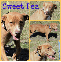 Laundry, Memes, and Dawn: Sweet Pea *Please note this animal is not with AAVA - we are networking for rescue as the liaison for the shelter* This baby is in a kill shelter in Abbeville, LA which does not allow public adoptions. Animals must be pulled by an approved rescue or can be adopted through AAVA.  TO ADOPT - fill out an application at http://aavarescue.com/adoptions.php  RESCUES - all rescues must now go through AAVA. Please contact us at animalaidvermilion@gmail.com. If you are not already approved please fill out a rescue application at http:/aavarescue.com/rescues.php  TO FOSTER - fill out an application at http://aavarescue.com/volunteer.php  If you have any questions please contact us at animalaidvermilion@gmail.com or (337) 366-0212 or visit our website http://aavarescue.com for more information.  To donate to AAVA's general rescue fund which helps support the shelter animals needs visit this link paypal.me/animalaidvermilion or visit our website http://animalaidvermilionarea.com/support-our-rescue.php Shelter needs can include items such as laundry detergent, baby pools, flea medication, dawn soap, heaters and fans, toys, gas for transports, pull fees for unfunded animals and other types of items.