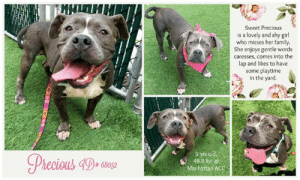 Beautiful, Children, and Dogs: Sweet Precious  is a lovely and shy girl  who misses her family  She enjoys gentle words  caresses, comes into the  lap and likes to have  some playtime  in the yard  5 yrs old  48.8 lbs @  Manhattan ACC  Phecious 4De se  # 6 INTAKE DATE: 07-05-19   Sweet and shy Precious is missing her home and her people <3 Please share this LEVEL 1 rated girl for a new home where she will be loved forever!   A volunteer writes:  Precious showed me at first her shy side. Entrusted by caresses and gentle words, she relaxed and let go of her guards, not to the point of giving me a smile but her eyes were tranquil, trusting and hopeful. Precious had a family not that long ago and she so misses her people and her surroundings. I know she can play and be close to her caretakers as I did see her a few days ago bouncing briefly in the yard and enjoying a welcoming lap. Precious dreams of a loving home and to belong again. This pretty girl is right now at the Manhattan Care Center hoping to join you for a beautiful life together. Come and meet her soon.  MY MOVIE:  Sweet and Shy Precious  https://youtu.be/WyiycljqeC8  PRECIOUS, ID# 68052, 5 yrs old, 48.8 lbs, Manhattan Animal Care Center, Large Mixed Breed Cross, Gray / White Female,  Stray - brought in with housemate after escaping through a broken basement window. brought in by police Shelter Assessment Rating: LEVEL 1 No young children (under 5) Medical Behavior Rating:    CAME IN WITH A HOUSEMATE whose identity is not known   BEHAVIOR NOTES  Means of surrender (length of time in previous home): Stray   SAFER ASSESSMENT: Date of assessment: 8-Jul-2019  Summary:  Leash Walking Strength and pulling: None Reactivity to humans: None  Reactivity to dogs: None Leash walking comments: None  Sociability Loose in room (15-20 seconds): Fearful – avoids; tense Call over: No approach – nervous, tense Sociability comments: Body tense, focusing on noises in the hall  Handling  Soft handling: Fearful Exuberant handling: Fearful Handling comments: Tense, trembling, stands still  Arousal Jog: Follows (loose) Arousal comments: None  Knock: No response Knock Comments: None  Toy: No response Toy comments: None  PLAYGROUP NOTES - DOG TO DOG SUMMARIES:  7/6: When introduced off leash to male and female dogs, Precious is fearful but allows polite greeting.   7/8-PRESENT: Precious keeps only to herself today.  MEDICAL BEHAVIOR: Date of initial: 7-Jul-2019 Summary: Tense, allowed handling  ENERGY LEVEL: We have no history on Precious so we cannot be certain of her behavior in a home environment. At the care center, she displays a medium level of activity.  BEHAVIOR DETERMINATION: Level 1 Behavior AsilomarH - Healthy  Recommendations: No young children (under 5)  Recommendations comments: No young children: Due to the behavior seen in the care center, we feel that Precious may be intimidated by young children. She needs a slow approach and time to warm up. She should never be forced to interact with new people, and should be allowed to greet and initiate an interaction at her own pace. Older, gentle children should have an in-depth interaction prior to adoption.  Potential challenges: Fearful  Potential challenges comments: Fearful: Precious is fearful at the care center, having a tense, trembling body at times. Please see handout on Decompression Period.  MEDICAL EXAM NOTES   12-Jul-2019  Progress Exam SO  BAR in kennel. barking at front of kennel, standing.  EN -- coughing, gagging during rounds exam  A  CIRDC  P  enrofloxacin 204mg tablet -- give 1 tablet PO q24h x 10 days  doxycycline 100mg tablet -- give 2.25 tablet PO q24h x 10 days  cerenia 60mg tablet -- give 0.5 tablet PO q24h x 4 days  7-Jul-2019  DVM Intake Exam Estimated age: Approx 5 years based on dentition and overall appearance Microchip noted on Intake? Scanned negative History : Police intake, no health hx available. Came in with 1 other dog. Subjective: Alert, walks well on leash Observed Behavior - Tense body, lies down and rests head on handler's knee, allows all handling without struggling Evidence of Cruelty seen - None Evidence of Trauma seen - None Objective  BAR-H, MMs pink and moist, BCS 6/9 EENT: Severe stenosis and lichenification, and mild discharge and erythema, AU. Eyes clear, no nasal or ocular discharge noted. Oral Exam: Stage 1-2/4 gingivitis/periodontitis. PLN: No enlargements noted H/L: NSR, NMA, CRT < 2, Lungs clear, eupnic, no coughing or sneezing. ABD: Soft, non painful, no masses palpated, not distended U/G: Female intact, pendulous nipples, mature vulva MSI: Ambulatory x 4, no lameness noted. Pyoderma all over body, with crusts, epidermal collarettes, erythema and papules. Mild moist dermatitis between toes. Skin free of parasites, no masses noted. CNS: Mentation appropriate - no signs of neurologic abnormalities Rectal: Normal externally Assessment: 1. Generalized pyoderma 2. Otitis externa 3. Dental disease 4. Overweight Prognosis: Good Plan: 1. Cefpodoxime 225 mg PO SID x21 days 2. Malaseb bath twice weekly 3. Recommend ear flushing and instilling long-acting otic therapy 4. Recommend weight loss of approx 5 lbs SURGERY: Temporary waiver due to pyoderma   5-Jul-2019  Tech Exam Dog was brought in with housemate after escaping through a broken basement window. Was darted by ESU on right hind leg just cranial to hip joint. Dart was pulled prior to intake. Cleaned with chlorhexidine scrub. Dog was slightly ataxic on intake but alert.   * TO FOSTER OR ADOPT *   If you would like to adopt a NYC ACC dog, and can get to the shelter in person to complete the adoption process, you can contact the shelter directly. We have provided the Brooklyn, Staten Island and Manhattan information below. Adoption hours at these facilities is Noon – 8:00 p.m. (6:30 on weekends)  If you CANNOT get to the shelter in person and you want to FOSTER OR ADOPT a NYC ACC Dog, you can PRIVATE MESSAGE our Must Love Dogs page for assistance. PLEASE NOTE: You MUST live in NY, NJ, PA, CT, RI, DE, MD, MA, NH, VT, ME or Northern VA. You will need to fill out applications with a New Hope Rescue Partner to foster or adopt a NYC ACC dog. Transport is available if you live within the prescribed range of states.  Shelter contact information: Phone number (212) 788-4000 Email adopt@nycacc.org  Shelter Addresses: Brooklyn Shelter: 2336 Linden Boulevard Brooklyn, NY 11208 Manhattan Shelter: 326 East 110 St. New York, NY 10029 Staten Island Shelter: 3139 Veterans Road West Staten Island, NY 10309  *** NEW NYC ACC RATING SYSTEM ***  Level 1 Dogs with Level 1 determinations are suitable for the majority of homes. These dogs are not displaying concerning behaviors in shelter, and the owner surrender profile (where available) is positive.   Level 2  Dogs with Level 2 determinations will be suitable for adopters with some previous dog experience. They will have displayed behavior in the shelter (or have owner reported behavior) that requires some training, or is simply not suitable for an adopter with minimal experience.   Level 3 Dogs with Level 3 determinations will need to go to homes with experienced adopters, and the ACC strongly suggest that the adopter have prior experience with the challenges described and/or an understanding of the challenge and how to manage it safely in a home environment. In many cases, a trainer will be needed to manage and work on the behaviors safely in a home environment.