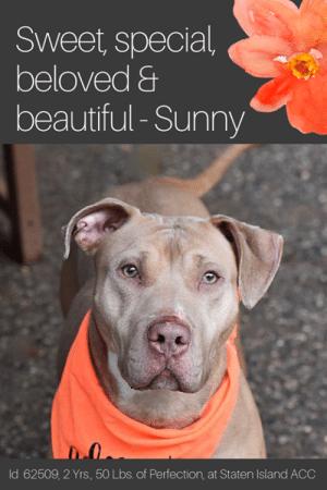 "Beautiful, Children, and Click: Sweet, special  beloved &  beautiful-Sunny  ld 62509, 2 Yrs, 50 Lbs. of Perfection, at Staten Island ACC TO BE KILLED 6/8/19  ** IN MANHATTAN ACC NOW ! **  With eyes as the color of caramel, and just as soft and sweet, SUNNY is a gem of a dog who is stunning in every way. Just a youngster and puppy playful, she flashes her beautiful smile and wins the hearts of everyone around her. She is incredibly friendly and social, and she so deserves a long and happy life with a family who will love and cherish her. Just read all the accolades from volunteers below who all adore this amazing girl, then rush to foster or adopt her now. Message our page or email us at MustLoveDogsNYC@gmail.com for assistance.  A staff member writes: ""Some people start the day with coffee, some start it with tea, but why not start your day with a large helping of Sunny D! Sunny D is a friendly girl who likes to solicit attention at the front of her kennel to all who pass by. She likes to play in the yard and run around, she surely is full of vibrant energy. She is a mere two years old, so you will still get lots of that playful ""puppy prowess"". Why not come down and start the next day of your life by picking up our Sunny D and taking her home to cherish!""  Volunteer Sandra McDonald writes: ""Sunny D has the perfect name !!! She so cheerful and fun shes sure to brighten even the gloomiest day. Sunny loved every person she met and was happy to meet Max thru the fence. She's a great dog.""  Another staff member writes: ""Sunny D was found as a stray and is looking for a new home. She's really sweet, and so full of life! She's in adoptions now at SIACC.""  A staff member posts: Sunny D is still waiting in adoptions at SIACC. She's beautiful and very lonely in there. She's looking for just somebody to love. Please give her that chance.  Volunteer Sandra Mcdonald writes: Cant believe Sunny D is still waiting for a home... her names says it all she a happy go lucky girl .. she likes people and seems to like other dogs.. shes medium energy and prefers to just sit on the bench or in the sun in the play yard   a nice low key dog.  MY MOVIES: Hazel Eyed Honey  https://www.facebook.com/sishelterdogs/videos/515251565675420/ https://www.facebook.com/sishelterdogs/videos/765863513810974/ Meeting Simba <3 https://www.facebook.com/sishelterdogs/videos/1244647209037371/  SUNNY D, ID# 62509, 2 yrs old, 50.6 lbs, Unaltered Female Manhattan ACC (was in Staten Island ACC before), Large Mixed Breed, Tan / White  Surrender Reason: Found Stray  Shelter Assessment Rating: LEVEL 3 No children (under 13) Medical Behavior Rating:  BEHAVIOR NOTES   Means of surrender (length of time in previous home): Stray, no known history  SHELTER ASSESSMENT SUMMARIES - Date of assessment: 15-May-2019  Summary:  Leash Walking Strength and pulling: Moderate Reactivity to humans: None Reactivity to dogs: None  Leash walking comments:  Sociability Loose in room (15-20 seconds): Fearful, avoids Call over: Approaches with coaxing, wary, tense, whale-eyeing  Sociability comments:   Handling  Soft handling: Tolerates contact, tense Exuberant handling: Tolerates contact, tense Handling comments:  Arousal Jog: Follows, a bit fearful, low body  Arousal comments:   Knock Knock Comments: No response  Toy Toy comments: Freezes, growls  MEDICAL BEHAVIOR - Date of initial: 15-May-2019 Summary: Tense, growling  ENERGY LEVEL: Sunny D displays a high energy level in the care center. We recommend daily mental and physical stimulation as a way to direct her energy and enthusiasm.  IN SHELTER OBSERVATIONS: During her stay in the care center, Sunny D has displayed social behavior with familiar handlers, seeking attention and accepting pets. When newer handlers approach to interact with Sunny D, she appears timid and moves away and avoids (whale eyeing). She has been observed to warm up with the use of treats, however.   BEHAVIOR DETERMINATION: Level 3 Behavior Asilomar TM - Treatable-Manageable  Recommendations: No children (under 13)  Recommendations comments: No children (under 13): Due to Sunny D's overall level of fear and discomfort combined with her resource guarding concerns, we feel she would be best set up to succeed in an adult only home environment.   Potential challenges:  Resource guarding Fearful/potential for defensive aggression  Potential challenges comments:  Sunny D was observed to freeze and growl while approached while engaged with a toy item, please see handout on Resource guarding.   Sunny D appears fearful of strangers initially and will avoid contact. She has displayed appropriate warning signals (lip licking, whale-eyeing, moving away). When she has been highly uncomfortable though she has escalated to growling and snapping. Please see handout on Fearful and defensive aggression as well as Decompression period.   MEDICAL EXAM NOTES   15-May-2019  DVM Intake Exam Estimated age: 2 years History : stray Subjective: Observed Behavior - tense, growling and snapping during exam Evidence of Cruelty seen - no Evidence of Trauma seen - no Objective  BCS 5/9 EENT: Eyes clear, no nasal or ocular discharge noted Oral Exam: muzzled, no oral exam PLN: No enlargements noted H/L: NSR, NMA, CRT < 2, Lungs clear, eupneic ABD: Non painful, no masses palpated U/G: Female, no spay scar seen MSI: Ambulatory x 4, skin free of parasites, no masses noted, superficial abrasion at nares CNS: Mentation appropriate - no signs of neurologic abnormalities Assessment appears healthy Prognosis: good Plan: gave 0.46 mls morphine and 0.14 mls dexdomitor IM after giving premedication, elected to postpone surgery until after behavior evaluation  SURGERY: Okay for surgery  11-May-2019  LVT Intake Exam Microchip Scan: negative Evidence of Cruelty: no Observed Behavior: relaxed body, mouth open, ears forward, tail wagging low. Allowed all treatments with minimal restraint.  Sex:FI Estimated Age:2 years Subjective: stray Ears: minimal waxy debris Eyes: clear, no discharge noted Nose: no discharge noted Teeth: patient did not allow full mouth exam, minimla tartar on cranial teeth, some food debris present on canines Heart: NSR, no murmurs auscultated Lungs: clear Abdomen: soft, non-painful Musculoskeletal: Ambx4, BCS 4/9 Integument: healthy coat and skin, free of external parasites Urogenital: FI- no spay scar noted Mentation: BAR Preliminary Assessment: Healthy Plan: DVM Exam...spay...RV  *** TO FOSTER OR ADOPT ***  HOW TO RESERVE A ""TO BE KILLED"" DOG ONLINE (only for those who can get to the shelter IN PERSON to complete the adoption process, and only for the dogs on the list NOT marked New Hope Rescue Only). Follow our Step by Step directions below!   *PLEASE NOTE – YOU MUST USE A PC OR TABLET – PHONE RESERVES WILL NOT WORK! **   STEP 1: CLICK ON THIS RESERVE LINK: https://newhope.shelterbuddy.com/Animal/List  Step 2: Go to the red menu button on the top right corner, click register and fill in your info.   Step 3: Go to your email and verify account  \ Step 4: Go back to the website, click the menu button and view available dogs   Step 5: Scroll to the animal you are interested and click reserve   STEP 6 ( MOST IMPORTANT STEP ): GO TO THE MENU AGAIN AND VIEW YOUR CART. THE ANIMAL SHOULD NOW BE IN YOUR CART!  Step 7: Fill in your credit card info and complete transaction   HOW TO FOSTER OR ADOPT IF YOU *CANNOT* GET TO THE SHELTER IN PERSON, OR IF THE DOG IS NEW HOPE RESCUE ONLY!   You must live within 3 – 4 hours of NY, NJ, PA, CT, RI, DE, MD, MA, NH, VT, ME or Norther VA.   Please PM our page for assistance. You will need to fill out applications with a New Hope Rescue Partner to foster or adopt a dog on the To Be Killed list, including those labelled Rescue Only. Hurry please, time is short, and the Rescues need time to process the applications."