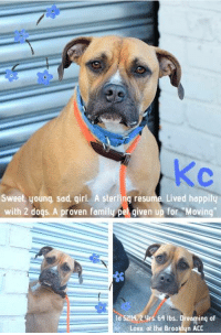 "Being Alone, Beautiful, and Cats: Sweet, young, sad, girl. A sterling resume. Lived hoppily  with 2 dogs. A proven family pet given up for ""Moving""  ld 5214) 2 urs 64 Ibs, Dreamin  Love, at the Brooklyn ACC *** TO BE KILLED - 1/15/2019 ***  ADOPTED AND BROUGHT ""HOME"" AT JUST 3 MONTHS, Kc settled in good with her family a few years ago, certain this was where she'd spend the rest of her life and that her owner would make sure of it and always keep her safe. But everything changed January 8th. That's when Kc's love and loyalty was betrayed. Her owner surrendered her to the Brooklyn shelter, claiming they were moving to a place where pets aren't allowed. Is it that easy? That simple? To just discard your fur family members to move to a new home. Sure it can be a bit challenging sometimes to find an apartment where your pets are allowed but you just dig in and try harder. Don't leave them at a kill shelter where they will almost certainly die. Kc is a beautiful 2 year old dogs who, after just 3 days, is OUT OF TIME. :'( Right now, she need to catch the attention of a kind and caring dog lover wiling to open their heart and home and provide her with the love, safety, security and time she needs to get on with her life and be successful.   KC, Id 52144, @ 2 Yrs. Old, 64 lbs. Brooklyn ACC, Large Mixed Breed, Tan/White, Spayed Owner Surrender Reason: Moving Shelter Assessment Rating: New Hope Rescue Only Medical Behavior Rating:  AT RISK NOTE: KC has allowed minimal handling from her caretakers, showing fearful behaviors with potential for defensive aggression. Please see her owner surrender profile for a full summary of her behavior in her previous home. There are no medical concerns at this time.  MEDICAL EXAM NOTES:  1/8/2019  [DVM Intake] DVM Intake Exam. Estimated age:1-2y (3 reported) Microchip noted on Intake? y Microchip Number (If Applicable):985112009146259. History: owner surrender. Subjective: Observed Behavior -muzzled. allowed slow exam. handlers reported lunging Evidence of Cruelty seen -n. Evidence of Trauma seen -n Objective: T = , P =60, R =pant, BCS 5/9. EENT: Eyes clear, ears clean, no nasal or ocular discharge noted Oral Exam:clean teeth. PLN: No enlargements noted H/L: NSR, NMA, CRT < 2, Lungs clear, eupnic. ABD: Non painful, no masses palpated. U/G:spay tattoo seen. MSI: Ambulatory x 4, skin free of parasites, no masses noted, healthy hair coat. CNS: Mentation appropriate - no signs of neurologic abnormalities. Assessment: healthy. Prognosis:good. Plan:no treatment.  INTAKE BEHAVIOR - DATE OF INTAKE, 1/8/2019: Kc was wagging her tail when came in the room however she started to bark at counselors and kept sitting next to the owner. She later started to bark at the ACS. She was interested in treats.  OWNER SURRENDER NOTES - BASIC INFORMATION: Kc is a three year old large female dog that was surrendered to the center due to the owner moving into a no pet place. The owner had her since she was three months. Kc doesn't have any known health issues. and has not seen the vet recently. She previously lived with 1 adult and 2 dogs. She can be shy or fearful around strangers. She didn't live with children. She lived with a male and female dog. She was relaxed and playful around them. She didn't live with cats. She is not bothered when her food is touched while eating however she barks if an object or treat is taken away from her. No bite history with a person or animal. Kc is housetrained and has a very high energy level. She has never had any medical issues.  Other Notes:: She is not bothered when she is held/restrained nor if disturbed while resting, bathed or brushed. The owner never trimmed her nails. She might bark, growl or snap when someone unfamiliar approaches the house.  For a New Family to Know: She was described as playful, fearful and anxious. She follows people around at home. Kc plays with balls, stuffed toys and ropes. She likes to wrestle and tug. She was kept mostly indoors and used to sleep in the owner's bed. She eats dry food and was fed once a day. She is house-trained and rarely has accidents. She is well-behaved when left alone in the house. She knows sit and come cues and is used to walks on leash for exercise.  SHELTER ASSESSMENT - Date of assessment: 1/10/2019  Summary:: Unable to SAFER due to behavior concerns: KC has allowed minimal handling from her caretakers, showing fearful behaviors with potential for defensive aggression. Out of concern for her stress levels and her response to restraint, we feel KC is not a great candidate for a handling assessment at this time. Please see her owner surrender profile for a full summary of her behavior in her previous home.   PLAYGROUP NOTES - DOG TO DOG SUMMARIES: According to KC's previous owner, she lived with a male and female dog and was relaxed and playful around them.  1/9: KC was uncomfortable with handling, giving the handlers a clear warning by freezing and low growling when an attempt was made to place a collar on her. Her warning was respected and attempts to place a collar on her were suspended. She greeted a novel male dog through the gate and displayed a tucked posture with low tail wags.   1/10: After handlers placed a collar on KC she greeted the novel male dog, at the gate, with a tuck posture. The greeter dog's leash is held to give her a chance to approach, but KC chooses to keep to herself and never approaches her. She mostly kept to herself wandering the pen and avoiding the other dog  ENERGY LEVEL:: KC has shown only a moderate energy level while here in the care center.  BEHAVIOR DETERMINATION:: New Hope Only  Behavior Asilomar: TM - Treatable-Manageable  Recommendations:: No children (under 13),Place with a New Hope partner  Recommendations comments:: Due to KC's fearfulness and sensitivity to handling/restraint, the behavior team recommends that KC be placed with a New Hope partner that can provide an adult only foster home.  Potential challenges: : Handling/touch sensitivity,Fearful/potential for defensive aggression,On-leash reactivity/barrier frustration,Strength/leash pulling  Potential challenges comments:: On Leash reactivty: KC was observed to be lunging and hard barking while on leash with owner in lobby. It is unknown if this is a reoccurring behavior but should be noted to potential adopters.  * TO FOSTER OR ADOPT *   KC IS NEW HOPE RESCUE ONLY! To foster or adopt her you need to fill out applications with New Hope Rescues. She cannot be direct adopted at the shelter. Please Message our page or email us at MustLoveDogsNYC@gmail.com for assistance fostering or adopting her."