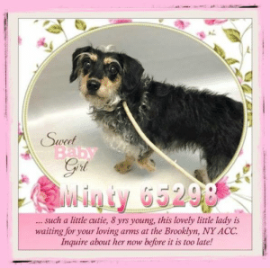 Animals, Desperate, and Dogs: Swet  Baby  Goi  Minty 65298  such a little cutie, 8 yrs young, this lovely little lady is  waiting for your loving  Inquire about her now  arms at the Brooklyn, NY ACC  before it is too late! **FOSTER or ADOPTER NEEDED ASAP** Minty 65298 ... such a little cutie, 8 yrs young, this lovely little lady is waiting for your loving arms at the Brooklyn, NY ACC. Inquire about her now before it is too late!  ✔Pledge✔Tag✔Share✔FOSTER✔ADOPT✔Save a life!  Minty 65298 Small Mixed Breed Sex female Age 8 yrs (approx.) - ? lbs  My health has been checked.  My vaccinations are up to date. My worming is up to date.  I have been micro-chipped.   I am waiting for you at the Brooklyn, NY ACC. Please, Please, Please, save me!  **************************************** *** TO FOSTER OR ADOPT ***   If you would like to adopt a NYC ACC dog, and can get to the shelter in person to complete the adoption process, you can contact the shelter directly. We have provided the Brooklyn, Staten Island and Manhattan information below. Adoption hours at these facilities is Noon – 8:00 p.m. (6:30 on weekends)  If you CANNOT get to the shelter in person and you want to FOSTER OR ADOPT a NYC ACC Dog, you can PRIVATE MESSAGE our Must Love Dogs - Saving NYC Dogs page for assistance. PLEASE NOTE: You MUST live in NY, NJ, PA, CT, RI, DE, MD, MA, NH, VT, ME or Northern VA. You will need to fill out applications with a New Hope Rescue Partner to foster or adopt a NYC ACC dog. Transport is available if you live within the prescribed range of states.  Shelter contact information: Phone number (212) 788-4000 Email adopt@nycacc.org  Shelter Addresses: Brooklyn Shelter: 2336 Linden Boulevard Brooklyn, NY 11208 Manhattan Shelter: 326 East 110 St. New York, NY 10029 Staten Island Shelter: 3139 Veterans Road West Staten Island, NY 10309 ************************************** ... NOTE:  *** WE HAVE NO OTHER INFORMATION THAN WHAT IS LISTED WITH THIS FLYER *** ... RE: ACC site Just because a dog is not on the ACC site does NOT necessarily mean safe. There are many reasons for this like a hold or an eval has not been conducted yet or the dog is rescue-only... the list goes on... Please, do share & apply to foster/adopt these pups as well until their thread is updated with their most current status. TY! ****************************************** About Must Love Dogs - Saving NYC Dogs: We are a group of advocates (NOT a shelter NOR a rescue group) dedicated to finding loving homes for NYC dogs in desperate need. ALL the dogs on our site need Rescue, Fosters, or Adopters & that ASAP as they are in NYC high-kill shelters. If you cannot foster or adopt, please share them far & wide. Thank you for caring!! <3 ****************************************** RESCUES: * Indicates New Hope Rescue partner is accepting applications for fosters and/or adopters. http://www.nycacc.org/get-involved/new-hope/nhpartners ****************************************** https://www.nycacc.org/adopt/minty-65298 ++++ http://nycaccpets.shelterbuddy.com/animal/animalDetails.asp?s=adoption&searchTypeId=4&animalType=3%2C16&datelostfoundmonth=6&datelostfoundday=11&datelostfoundyear=2019&tpage=8&find-submitbtn=Find+Animals&pagesize=16&task=view&searchType=4&animalid=99373 ++++ ++++ Beamer Maximillian Carolin Hocker Caro Hocker