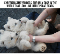 Dogs, Memes, and Bears: SYBERIAN SAMOYED DOGS. THE ONLY DOGS IN THE  WORLD THAT LOOK LIKE LITTLE POLAR BEARS. D'awwww