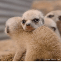 Dank, Stuff, and Baby: Symbio Wildlife Park I want to stuff all of my pockets full of baby meerkats now.  By Symbio Wildlife Park