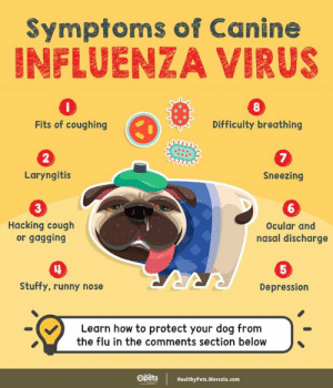 Memes, Depression, and How To: Symptoms of Canine  INFLUENZA VIRUS  8  Fits of coughing  Difficulty breathing  2  Laryngitis  Sneezing  3  6  Hacking cough  or gagging  Ocular and  nasal discharge  5  Stuffy, runny nose  Depression  RRRA  Learn how to protect your dog from  the flu in the comments section below  Opets  HealthyPets.Mercola.com Here's how to tell if your dog has caught the flu: