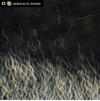 Bee Sperm facts: Video and from research from: @jessica.m.moran ・・・ Some bee sperm facts 🐝💦🔬🐝💦 • Bee sperm are ~ 260um long (4x longer than human sperm • A honeybee ejaculate contains approximately 12.7 million sperm • Bee ejaculates are incredibly high quality: around 95% of sperm are viable (a fantastic human ejaculate will contain ~ 20% viable sperm) • Queens reject about 97% of sperm they receive • Although drone (male) honeybees only live for around 3 months, their sperm will live inside queens for up to seven years (until she dies) • Queens only use 1-2 sperm per fertilisation event • Honeybee seminal fluid is able to recognise and nourish its own sperm while killing the sperm of a rival male • But don't worry, the queen eventually stops the killing effect once the sperm reach her spermatheca (sperm storage organ). SPERMWARS EvolutionaryBiology BeeResearch SpermCompetition SpermRace BeeSperm InsectPhotography Drone Beekeeping Bee Apis Honeybee WorkingHardForTheHoney ExperimentalBees LoveThyBees ProtectTheBees SaveTheBees saveourplanet savegaia savebees bees🐝 bees beeswax beepollen holisticliving beekeeper motherearth naturelover naturedoctor: t jessica.m-moran Bee Sperm facts: Video and from research from: @jessica.m.moran ・・・ Some bee sperm facts 🐝💦🔬🐝💦 • Bee sperm are ~ 260um long (4x longer than human sperm • A honeybee ejaculate contains approximately 12.7 million sperm • Bee ejaculates are incredibly high quality: around 95% of sperm are viable (a fantastic human ejaculate will contain ~ 20% viable sperm) • Queens reject about 97% of sperm they receive • Although drone (male) honeybees only live for around 3 months, their sperm will live inside queens for up to seven years (until she dies) • Queens only use 1-2 sperm per fertilisation event • Honeybee seminal fluid is able to recognise and nourish its own sperm while killing the sperm of a rival male • But don't worry, the queen eventually stops the killing effect once the sperm reach her spermatheca (sperm storage organ). SPERMWARS EvolutionaryBiology BeeResearch SpermCompetition SpermRace BeeSperm InsectPhotography Drone Beekeeping Bee Apis Honeybee WorkingHardForTheHoney ExperimentalBees LoveThyBees ProtectTheBees SaveTheBees saveourplanet savegaia savebees bees🐝 bees beeswax beepollen holisticliving beekeeper motherearth naturelover naturedoctor