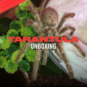 Dank, 🤖, and How: TAB  UNBOXING This guy ordered two tarantulas and showed just how much preparation goes into caring for them 😳🕷️  Exotics Lair
