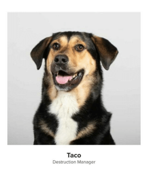 awesomacious:  Taco has the coolest job at the marketing agency: Taco  Destruction Manager awesomacious:  Taco has the coolest job at the marketing agency