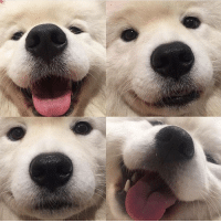 Memes, 🤖, and Who: Tag friend who needs to see soft snoot on NationalDogday - @miss_poppet_the_samoyed