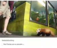 Oh shit he got caught.: tak net  the bestottumbling  Red Pandas are so adorable Oh shit he got caught.