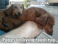 That's A Doxie For Ya!: Takes hour anda half walk.  Poops on  living room rug That's A Doxie For Ya!