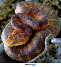 Atheris Squamigeria:  One of the most beautiful snakes in the world. 😱😍  Wow Amazing Animals: Talent  Explore Atheris Squamigeria:  One of the most beautiful snakes in the world. 😱😍  Wow Amazing Animals