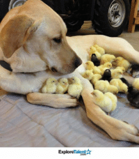 Memes, Chicken, and 🤖: TalentA  Explore This is Roxy. Roxy is an adoptive mother to all these baby chickens who lost their mommy. We salute you, Roxy 🙌❤️