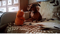 Talking Toy Gets This Doxie's Full Attention!: Talking Toy Gets This Doxie's Full Attention!