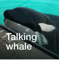 "Animals, Hello, and Killer Whales: Talking  whale This killer whale can ""say"" hello and bye bye. Well, she can at least mimic those words and a handful of others. She learned to ""speak"" by copying a trainer in a marine park in France – and is thought to be the first of her kind to copy human speech. Researchers say learning more about how killer whales communicate could help us protect them. whale orca killerwhale nature ocean animals science bbcnews"