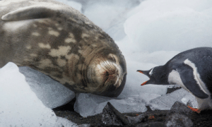 tangledwing: A Weddell seal sleeps next to a noisy gentoo penguin on Greenwich Island part of the South Shetland Island group, Antarctica. Photograph: Paul Hilton/Greenpeace : tangledwing: A Weddell seal sleeps next to a noisy gentoo penguin on Greenwich Island part of the South Shetland Island group, Antarctica. Photograph: Paul Hilton/Greenpeace