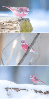 Candy, Target, and Tumblr: tanuki-kimono:  Well named Rosefinch bird, looking like cotton candy in the snow, photo by.