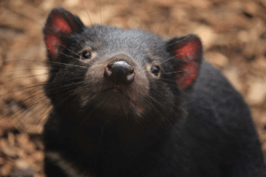 Tasmanian Devil at the Australian Reptile Park was kind enough to smile for the camera.: Tasmanian Devil at the Australian Reptile Park was kind enough to smile for the camera.