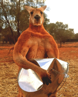 "tatooiines: lampfaced:  houstonwehaveadog:  saltrat88:  tulpawithablog:  catsbeaversandducks:  ""Roger's favourite game is crushing his feed bucket! Roger is our alpha male kangaroo, he is 10 years old, height 6ft 7, weight 200 pounds and 100% muscle. I raised him from a tiny orphan baby kangaroo."" Photo/caption by The Kangaroo Sanctuary Alice Springs   Look at this fucking chad    Damn.   Australia is a foreign planet.    : tatooiines: lampfaced:  houstonwehaveadog:  saltrat88:  tulpawithablog:  catsbeaversandducks:  ""Roger's favourite game is crushing his feed bucket! Roger is our alpha male kangaroo, he is 10 years old, height 6ft 7, weight 200 pounds and 100% muscle. I raised him from a tiny orphan baby kangaroo."" Photo/caption by The Kangaroo Sanctuary Alice Springs   Look at this fucking chad    Damn.   Australia is a foreign planet."