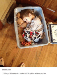Golden Retriever: te  Little guy fell asleep in a basket with his golden retriever puppies
