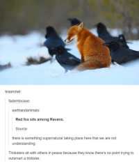 Dank, 🤖, and Fox: teaandwii:  fadeintocase:  earthandanimals  Red fox sits among Ravens.  Source  there is something supernatural taking place here that we are not  understanding.  Tricksters sit with others in peace because they know there's no point trying to  outsmart a trickster.