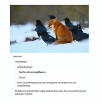 Memes, Girl, and Pictures: teaandwii:  fadeintocase  earthandanimals:  Red fox sits among Ravens.  Source  there is something supernatural taking place here that we are not  understanding  Tricksters sit with others in peace because they know there's no point trying to  outsmart a trickster. It's ya girl mon back at it again with the low quality pictures - mon textpost textposts