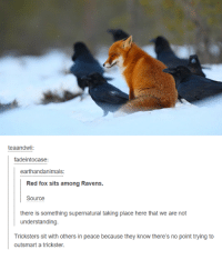 trickster: teaandwii  fadeintocase:  earthandanimals  Red fox sits among Ravens.  there is something supernatural taking place here that we are not  understanding.  Tricksters sit with others in peace because they know there's no point trying to  outsmart a trickster.
