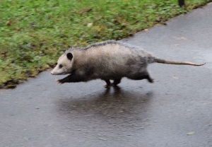 teaboot:  awwcutepets:opossums get a lot of hate, but they clear a lot of unwanted bugs and parasites from the ecosystem and are generally helpful friends. please appreciate them, especially this good boy. he is on his way to a very important meeting please be kind : teaboot:  awwcutepets:opossums get a lot of hate, but they clear a lot of unwanted bugs and parasites from the ecosystem and are generally helpful friends. please appreciate them, especially this good boy. he is on his way to a very important meeting please be kind