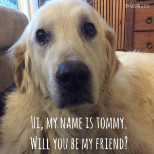 Friends, Love, and Memes: TEAM GOLDEN OLDIES  HI, MY NAME IS TOMMY  WILL YOU BE MY FRIEND? Hi friends, I hope I can call you friend? My name is Tommy, I'm the new kid on the block. Will YOU be my friend? Thank you to everyone involved in getting me to my forever home Love and licks Tommy - Latin for Newbie