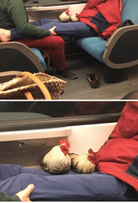 Tumblr, Blog, and Http: teamrocketing:  this gay couple on the night train had actual chickens with them and i was certain i hallucinated it until i found the pictures just now
