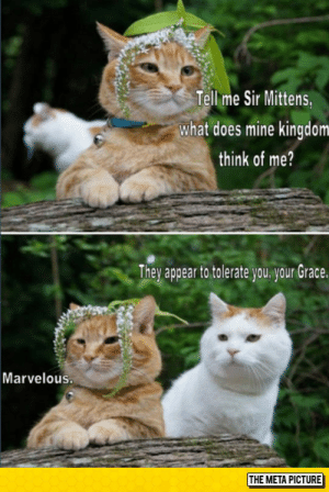 srsfunny:These Cats Crack Me Up Every Time: Tell me Sir Mittens  what does mine kingdom  think of me?  Thev appear to tolerate vou vour Grace  Marvelous.  THE META PICTURE srsfunny:These Cats Crack Me Up Every Time