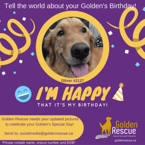 """Is your Golden's Birthday coming up? If it is, we at Golden Rescue would love to have a recent photo of your special family member. Please send photos to socialmedia@goldenrescue.ca  Please use """"Birthday Photo"""" as your subject line and be sure to include your dogs' name and rescue number in your email. Please send your photo to us at least one month in advance of your Golden's birthday. Thank you!  #goldenretriever #rescuedog #adoptdontshop #birthday: Tell the world about your Golden's Birthday  Oliver #2127  I'M HAPPY  THAT IT'S MY BIRTHDAY!  Golden Rescue needs your updated pictures  to celebrate your Golden's Special Day!  Golden  uRescue  Send to: socialmedia@goldenrescue.ca  ...About Second Chances  goldenrescue.ca  *Please include name, rescue number and DOB*  D Is your Golden's Birthday coming up? If it is, we at Golden Rescue would love to have a recent photo of your special family member. Please send photos to socialmedia@goldenrescue.ca  Please use """"Birthday Photo"""" as your subject line and be sure to include your dogs' name and rescue number in your email. Please send your photo to us at least one month in advance of your Golden's birthday. Thank you!  #goldenretriever #rescuedog #adoptdontshop #birthday"""