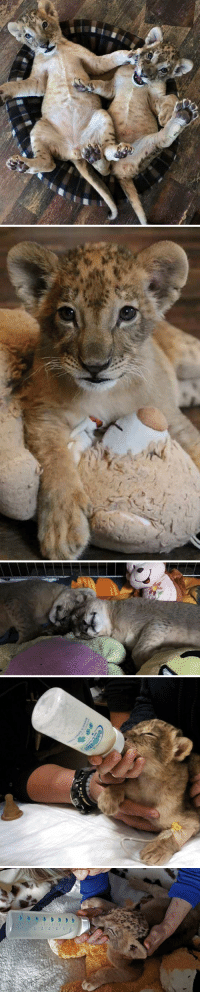 Cubs, Lion, and Bulgaria: Terez and Masud - cutest rescued lion cubs in Bulgaria