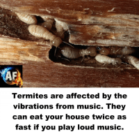 Memes, 🤖, and Play: Termites are affected by the  vibrations from music. They  can eat your house twice as  fast if you play loud music.