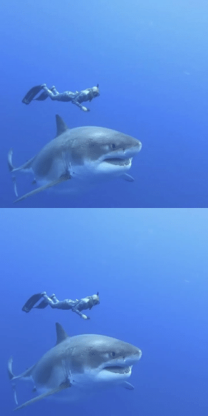 """terrible-tentacle-theatre: bunjywunjy:  thefingerfuckingfemalefury:  ayellowbirds:  toothybabies:  vizual-vibe:   Ocean Ramsey and her team encountered this 20 ft Great White Shark near the island of Oahu, Hawaii. It is believed to be the biggest ever recorded     She's so beautiful!! 💙💙💙  SO lovely!  LORGE PAL :D  FRIENDS HOLD HANDS  God, I'm obsessedwith this video. The way you can see all the scars and craters on her skin, the way the gill slits wave in the current, the sense of just how massiveshe is compared to that diver… it's incredible. Just this enormous animal lazily swimming by the camera. When 99% of the time you only see sharks in sped-up footage accompanied by threatening orchestral music and some narrator dude ominously intoning that it is""""the most perfect killing machine the world has ever seen"""", you tend to forget sharks are such beautiful creatures. This video doesn't show a """"monster shark"""" or a""""killing machine"""". It shows an animal - and a fucking beautiful one at that. : terrible-tentacle-theatre: bunjywunjy:  thefingerfuckingfemalefury:  ayellowbirds:  toothybabies:  vizual-vibe:   Ocean Ramsey and her team encountered this 20 ft Great White Shark near the island of Oahu, Hawaii. It is believed to be the biggest ever recorded     She's so beautiful!! 💙💙💙  SO lovely!  LORGE PAL :D  FRIENDS HOLD HANDS  God, I'm obsessedwith this video. The way you can see all the scars and craters on her skin, the way the gill slits wave in the current, the sense of just how massiveshe is compared to that diver… it's incredible. Just this enormous animal lazily swimming by the camera. When 99% of the time you only see sharks in sped-up footage accompanied by threatening orchestral music and some narrator dude ominously intoning that it is""""the most perfect killing machine the world has ever seen"""", you tend to forget sharks are such beautiful creatures. This video doesn't show a """"monster shark"""" or a""""killing machine"""". It shows an animal - and a fucking beautiful one a"""