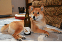 """Bones, Doge, and Target: TEUTONIC  WINE COMPANY  SHIBA SOMMELIER <p><a class=""""tumblr_blog"""" href=""""http://shibasommelier.com/post/85638901497/2011-teutonic-wine-company-riesling-feeling-a"""" target=""""_blank"""">shibasommelier</a>:</p> <blockquote> <p><strong>2011 Teutonic Wine Company Riesling</strong></p> <p>Feeling a little iffy - hence, my #doge face. Nice nose of honeysuckle, Meyer lemons, candied lemon rind, white flowers, and cashews. On the palate, a lot of the complexity of the nose drops out. A lot of Meyer lemon and white pear with some real, fierce acidity. Finish is both sticky and a bit too tart.</p> <p>2/5 bones</p> <p>$$</p> <p>Riesling</p> <p>8.5% abv</p> <p>Chehalem Mountains, Oregon, USA</p> </blockquote>"""