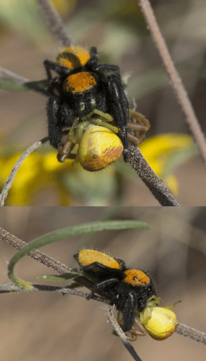 textless:The poor yellow crab spider never had a chance, but at least the end came quickly.  Cochise County, Arizona, October 2019.: textless:The poor yellow crab spider never had a chance, but at least the end came quickly.  Cochise County, Arizona, October 2019.
