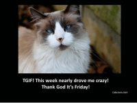 TGIF, this week nearly drove me crazy. Thank God its Friday  Good Morning All, have a great Friday    #cat: TGIF! This week nearly drove me crazy!  Thank God It's Friday!  Catwows.com TGIF, this week nearly drove me crazy. Thank God its Friday  Good Morning All, have a great Friday    #cat